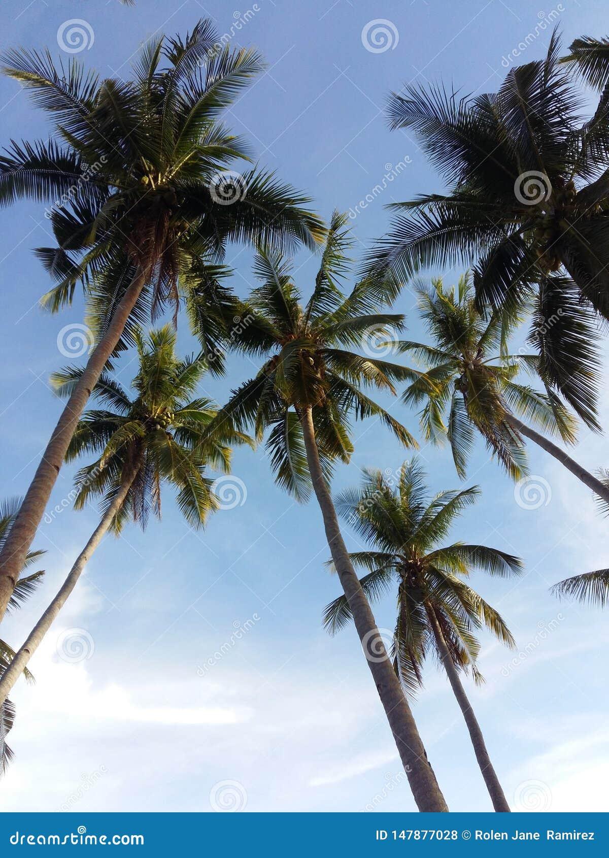 Cocos under den blåa himlen