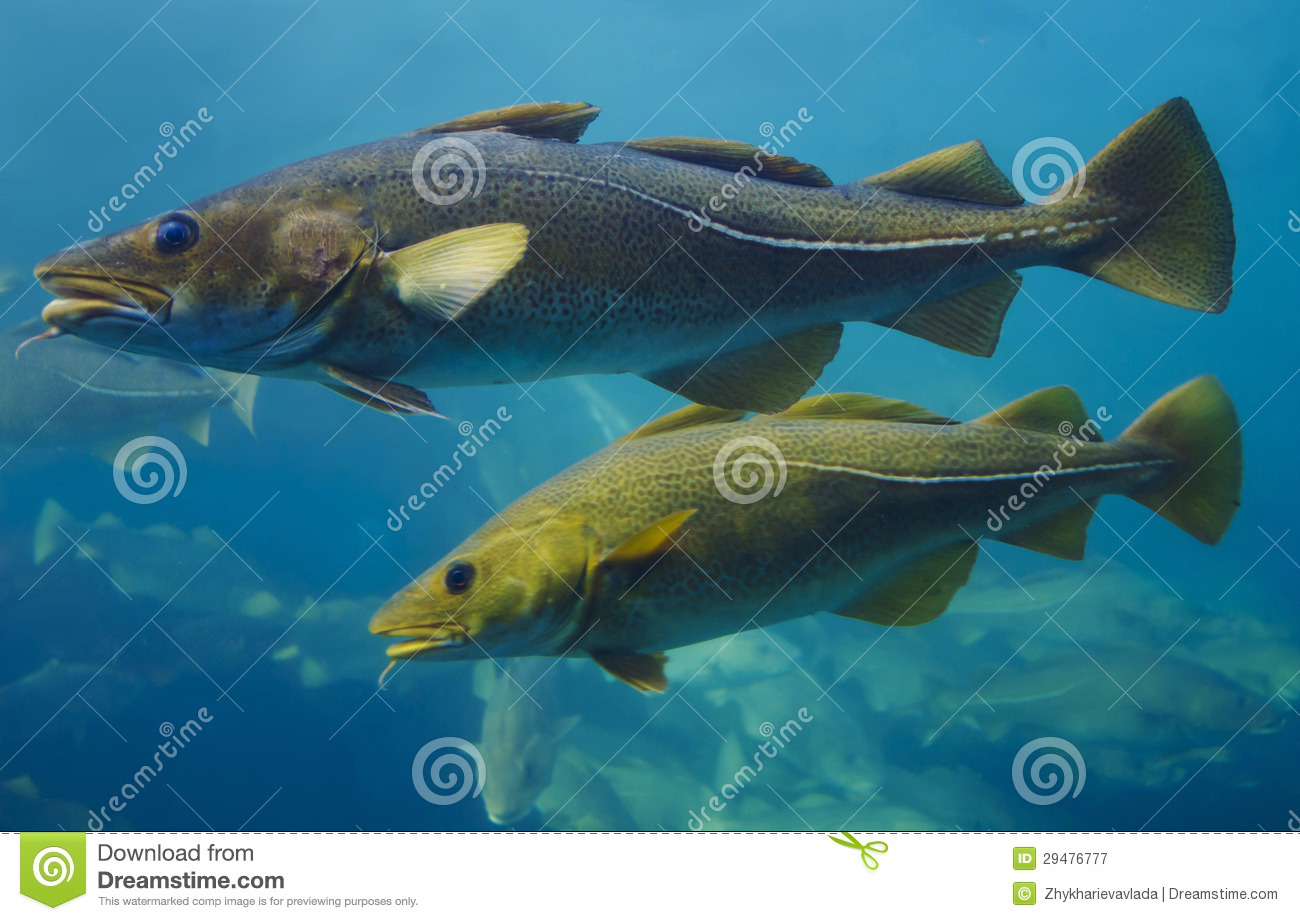 Cod fish royalty free stock photography image 29476777 for Dreaming of fish