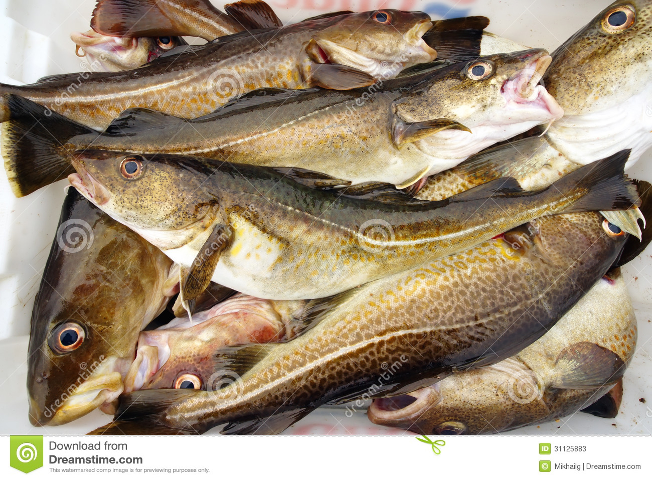 Cod fish stock image image of industry alive catch for What is cod fish