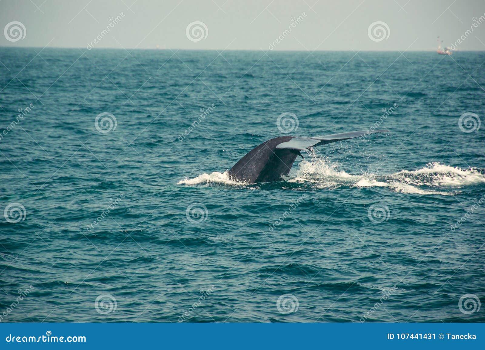 Coda della balena blu che si tuffa in profondità, Oceano Indiano Fondo della natura della fauna selvatica Impressione turistica V