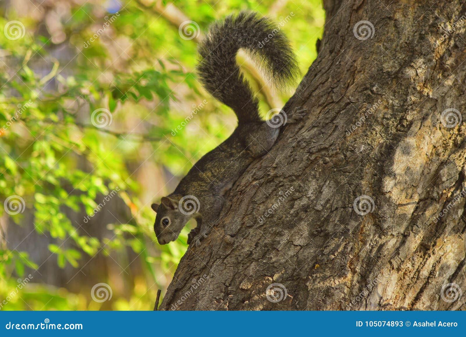 Coda grigia dei capelli dello scoiattolo in albero