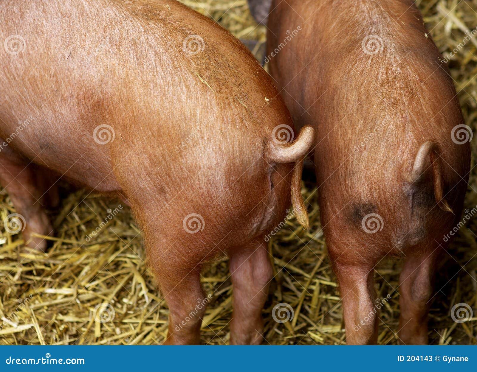 Code del maiale