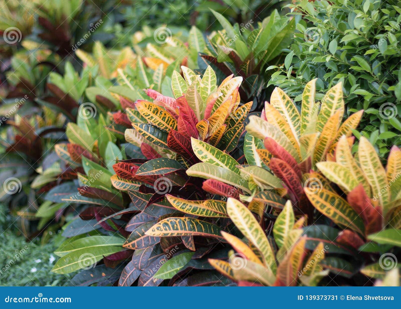 Codiaeum variegatum or croton
