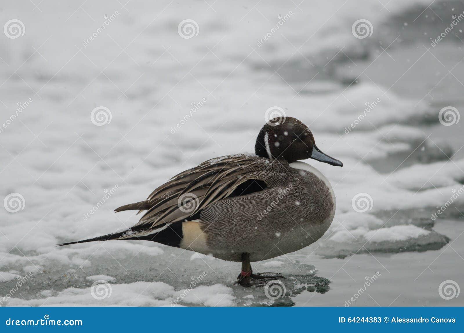 Codon w Po delcie pod ciężkim śniegiem