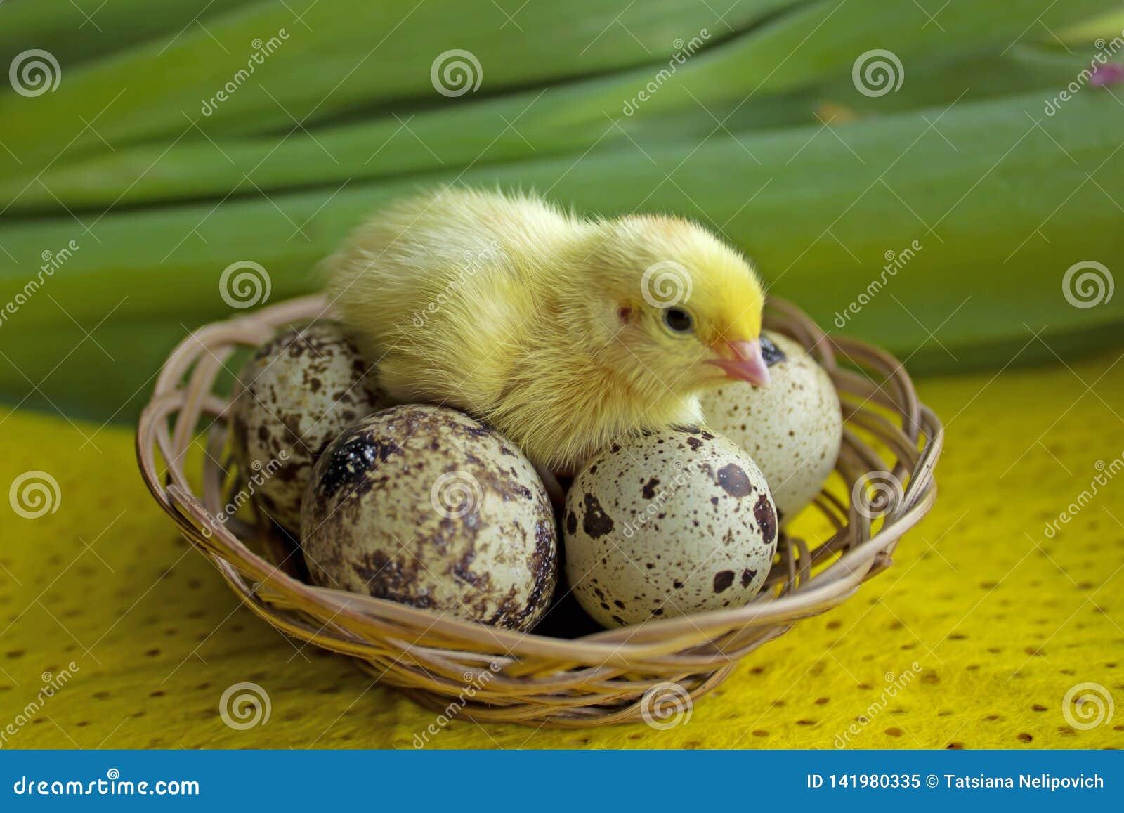 Codorniz do bebê que sentam-se em ovos em uma cesta Páscoa o conceito do nascimento de uma vida nova