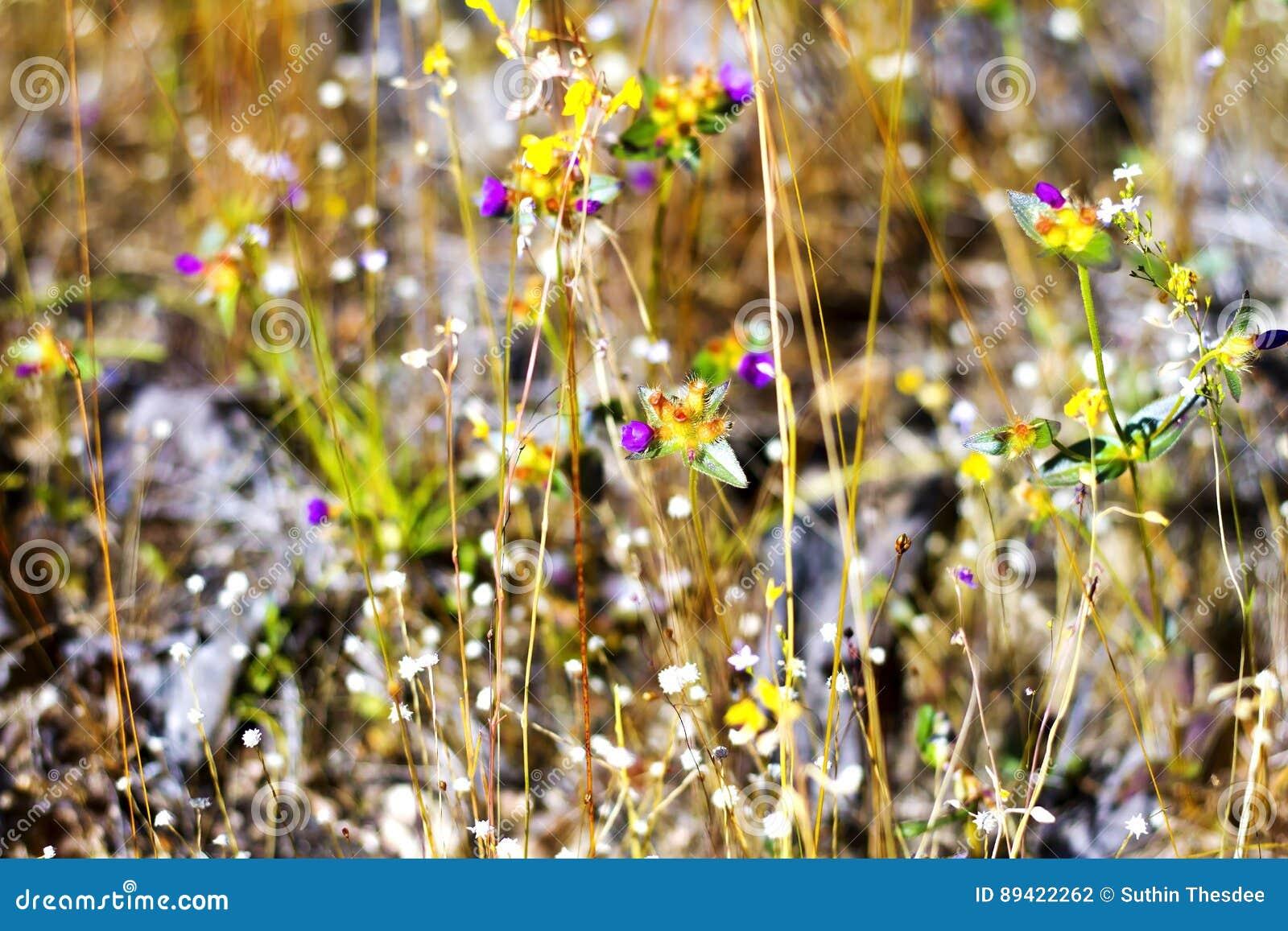 Coelestris de Burmania com grama seca