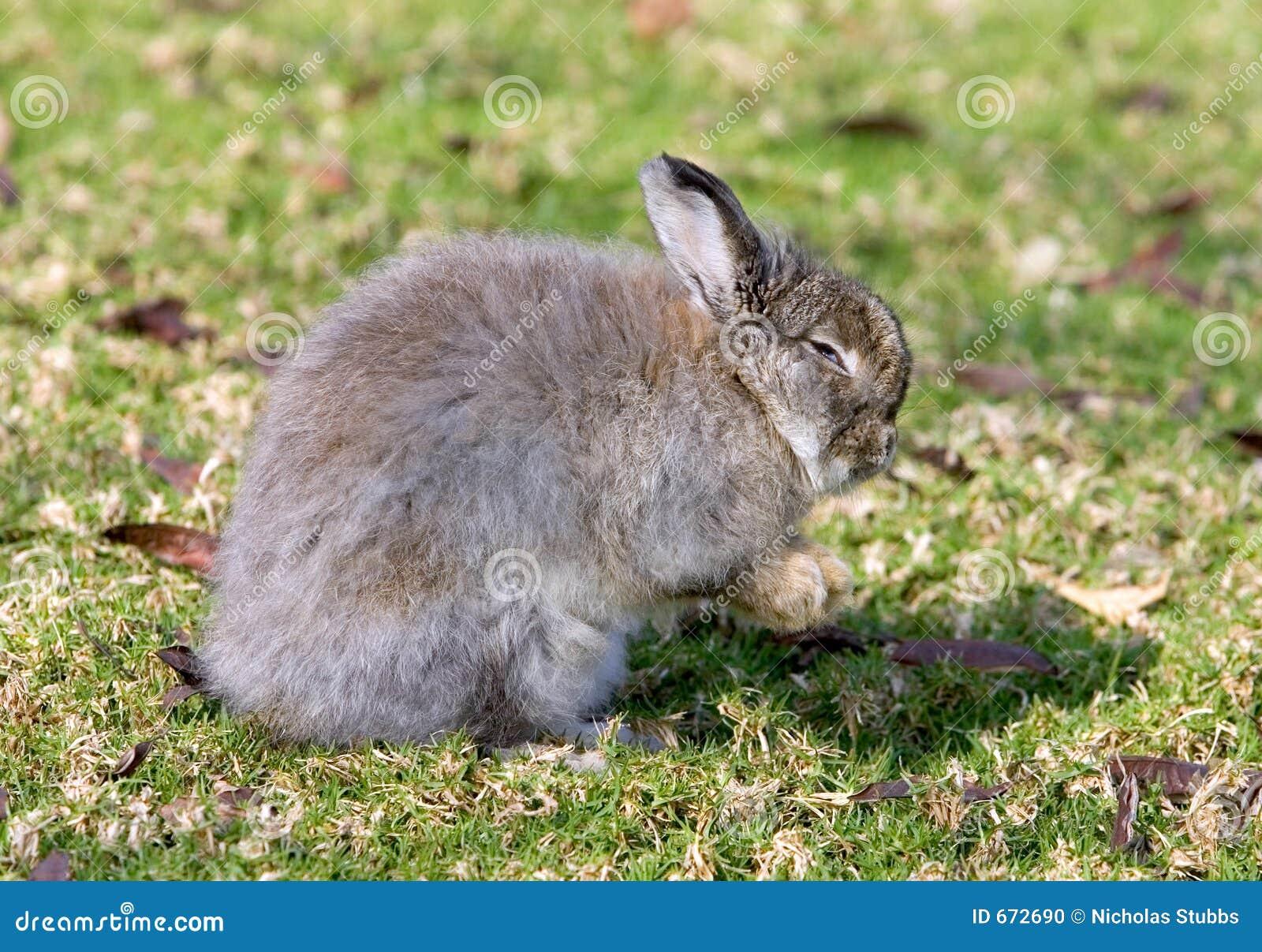 Coelho de coelho muito macio em um campo em Spain