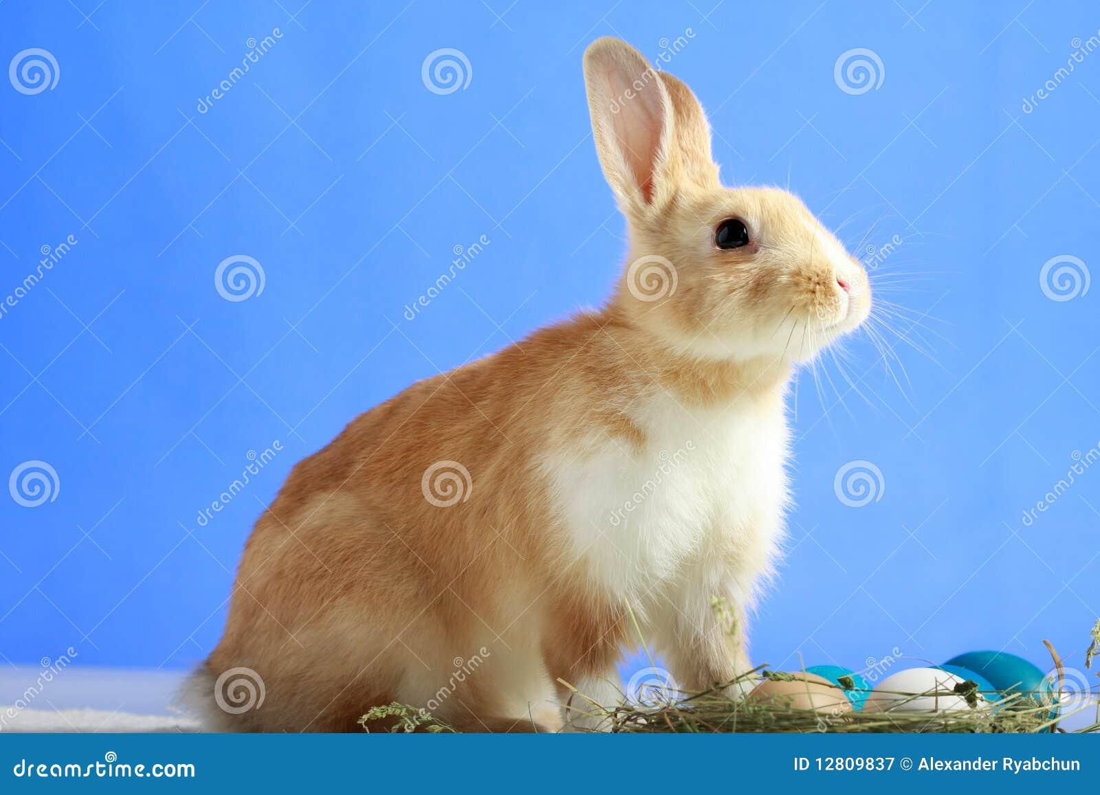 Coelho de Easter no fundo azul