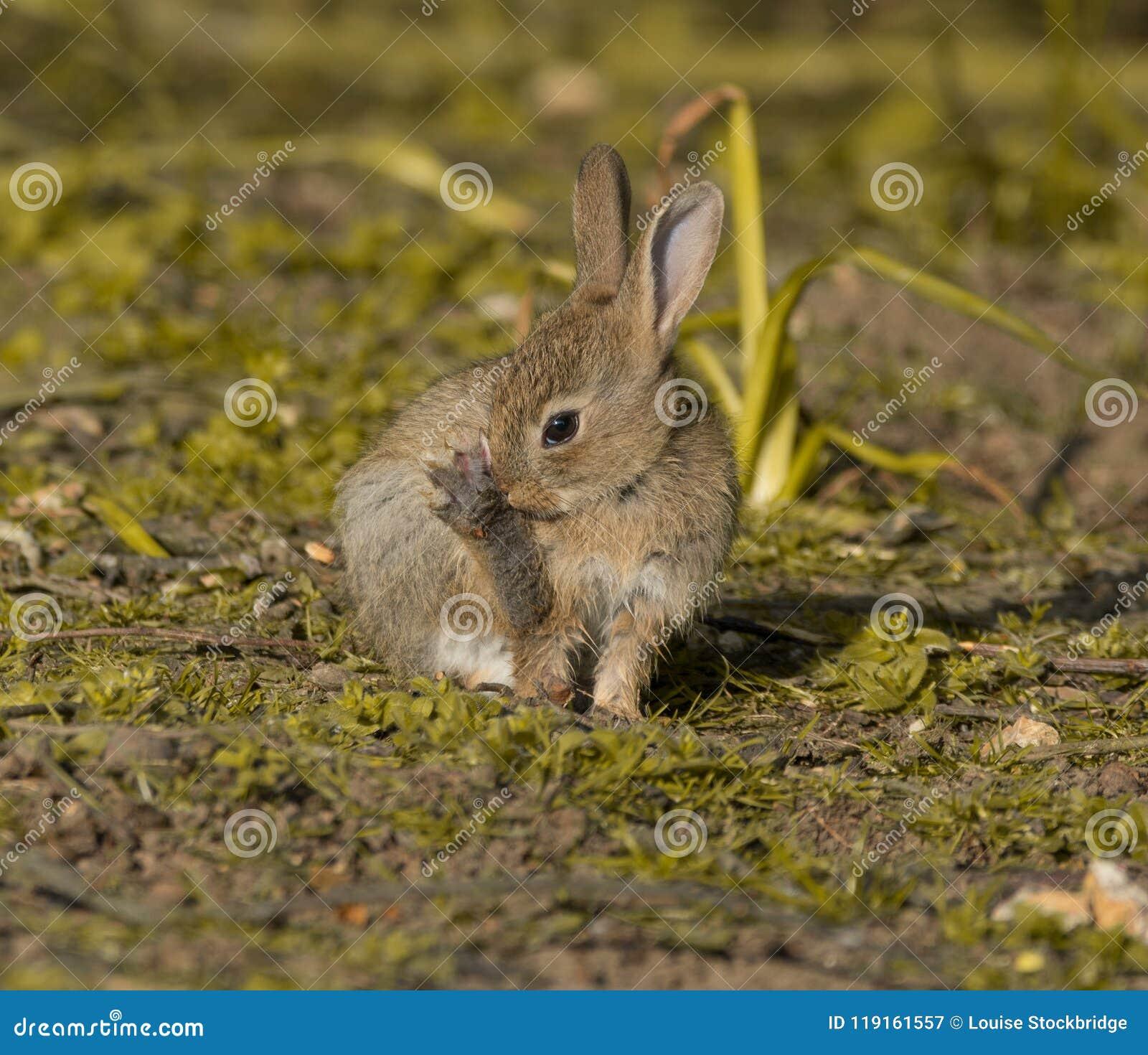 Coelho de coelho pequeno muito bonito