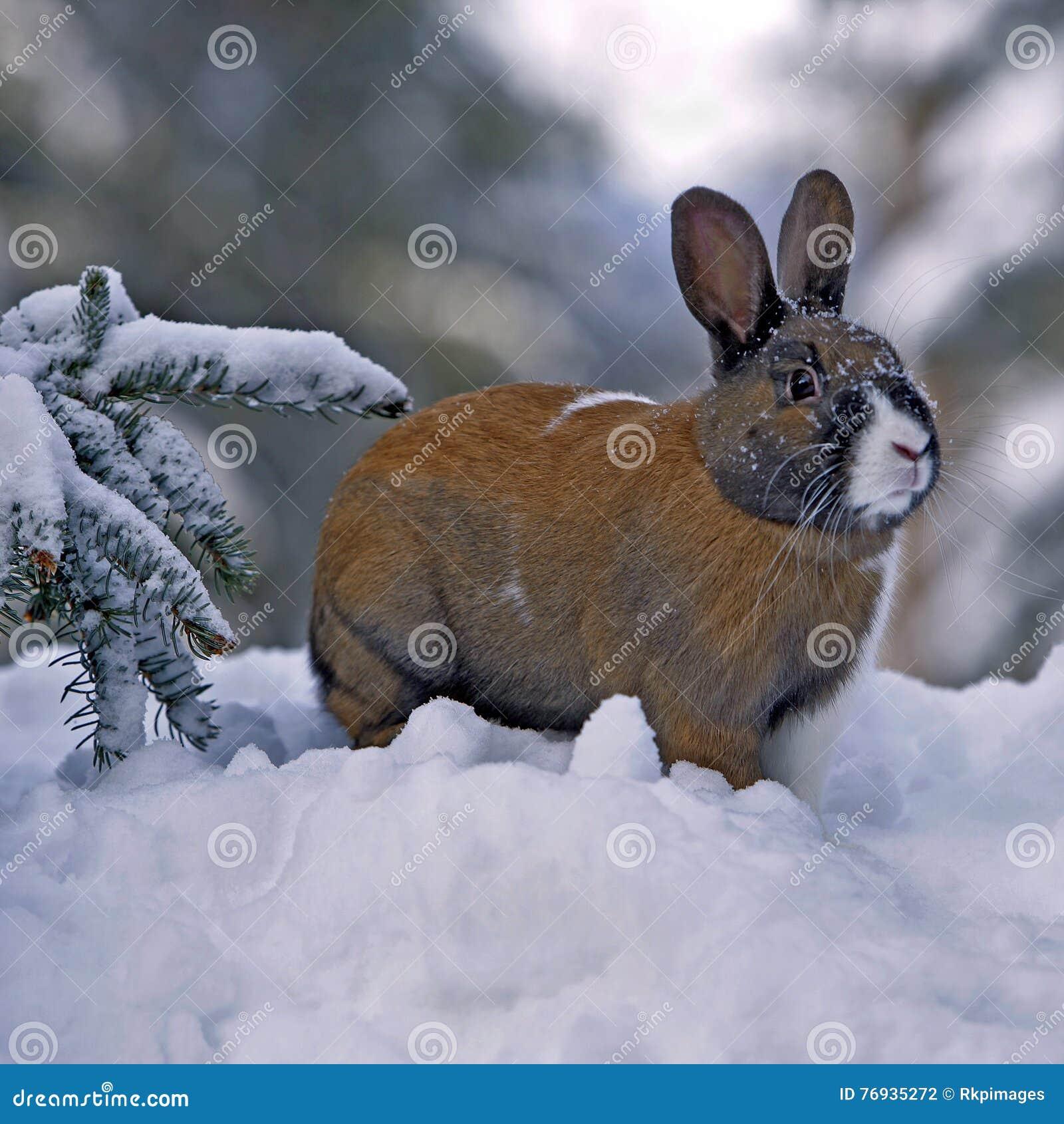 Coelho doméstico no inverno