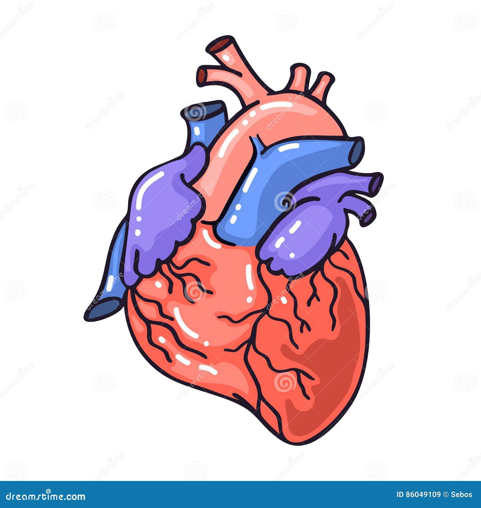 Coeur anatomique de croquis de dessin de main illustration - Style de dessin ...
