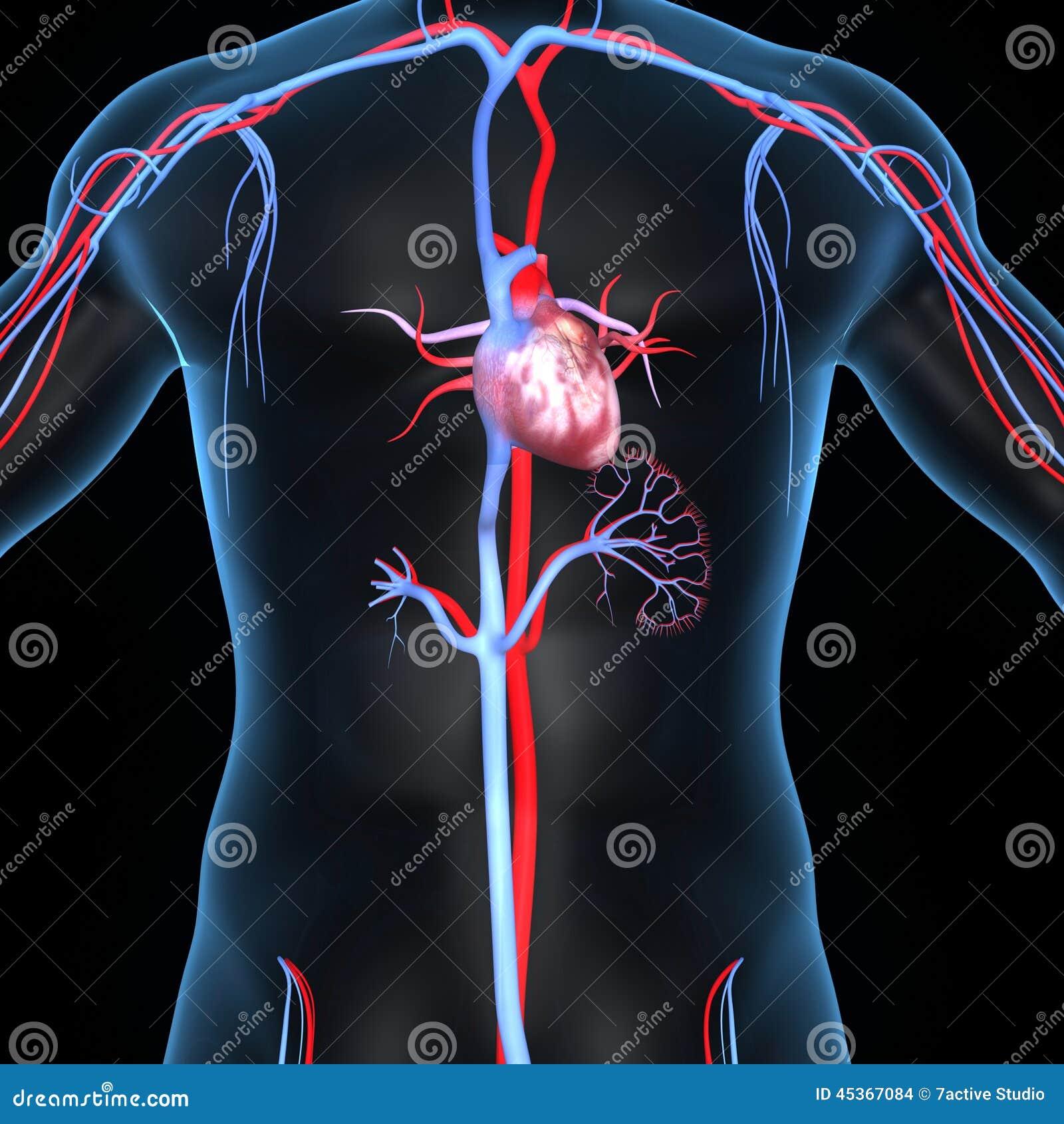 Coeur avec des artères et des veines