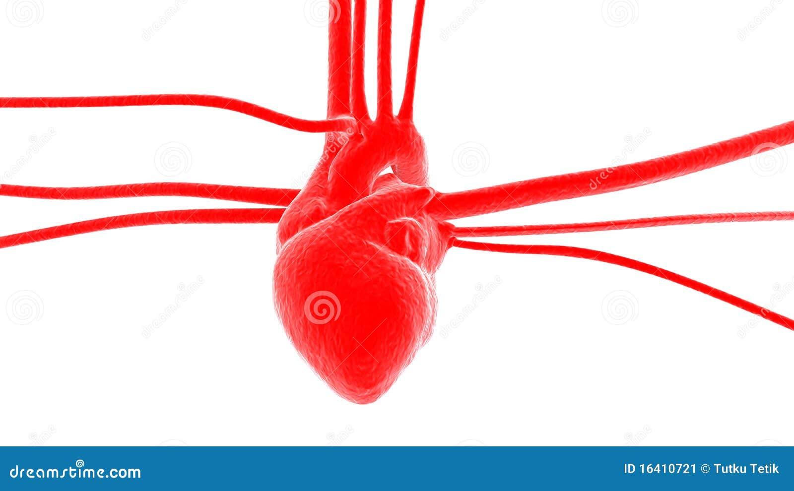 Coeur avec des art res et des veines image stock image 16410721 - Coeur avec des photos ...