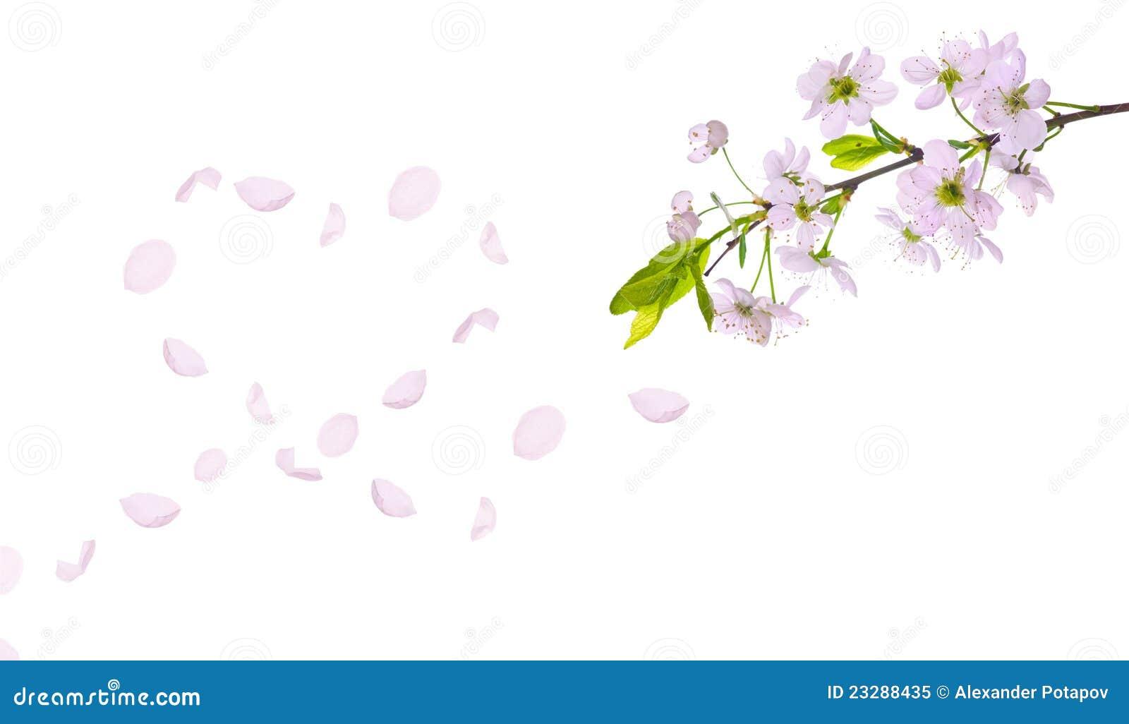 96ddc6259355 Coeur De Pétales De Cerisier De Source Photo libre de