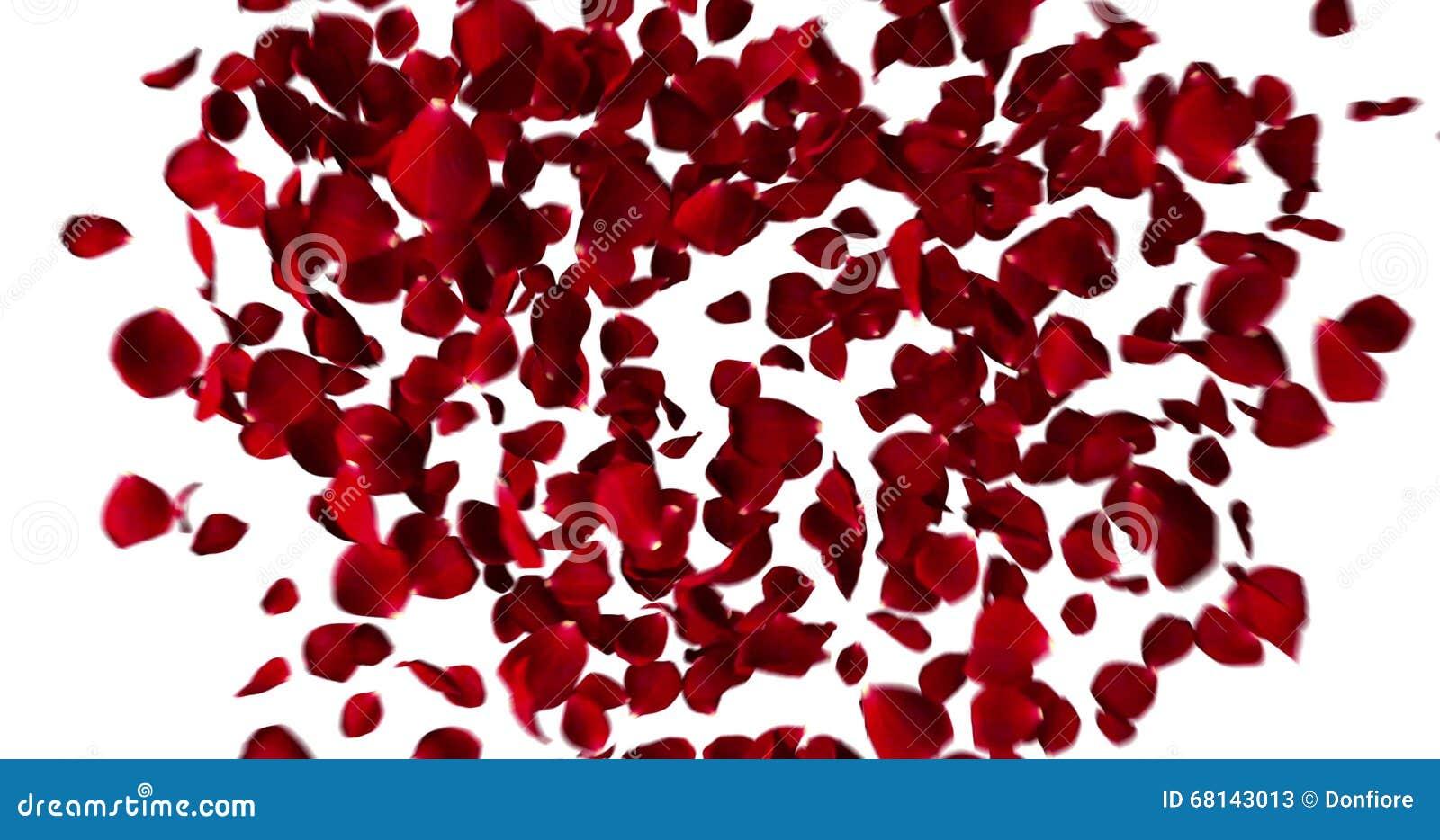 Coeur Rouge Des Petales De Rose Volant Avec Le Vortex Sur Le Concept Blanc De Fond D Amour Et De Saint Valentin