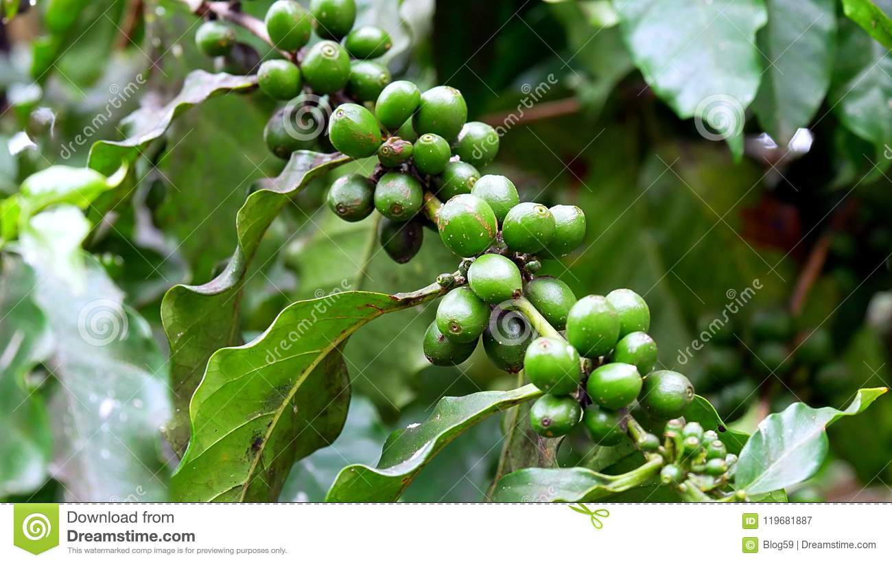 Close Up Of Green Coffee Beans On A Coffee Plant In Cuba Stock
