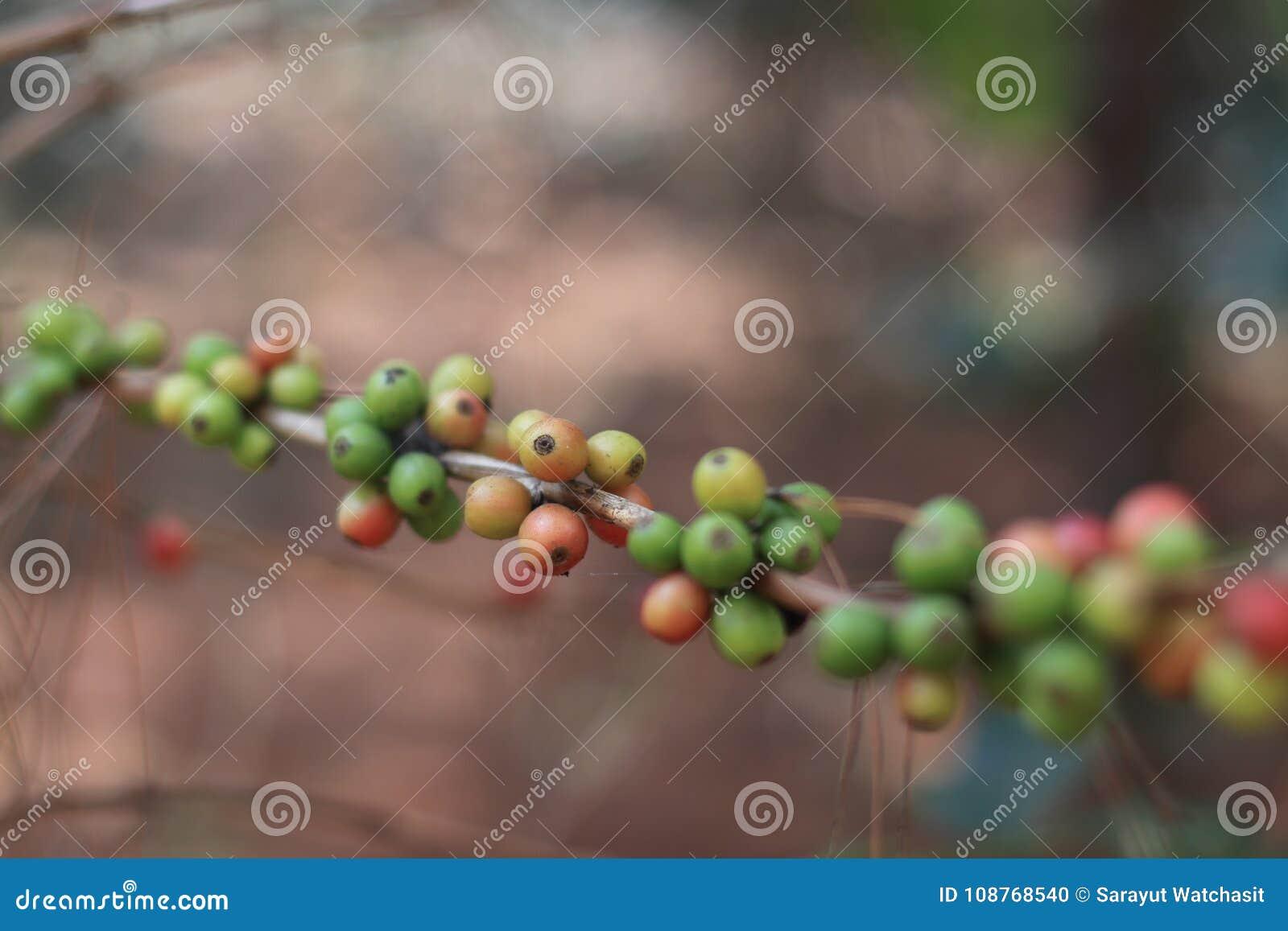 Coffeaarabica bes