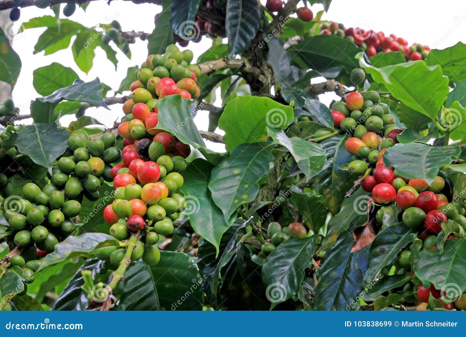 Coffee Bean Coffee Cherries Or Coffee Berries On Coffee Tree Near
