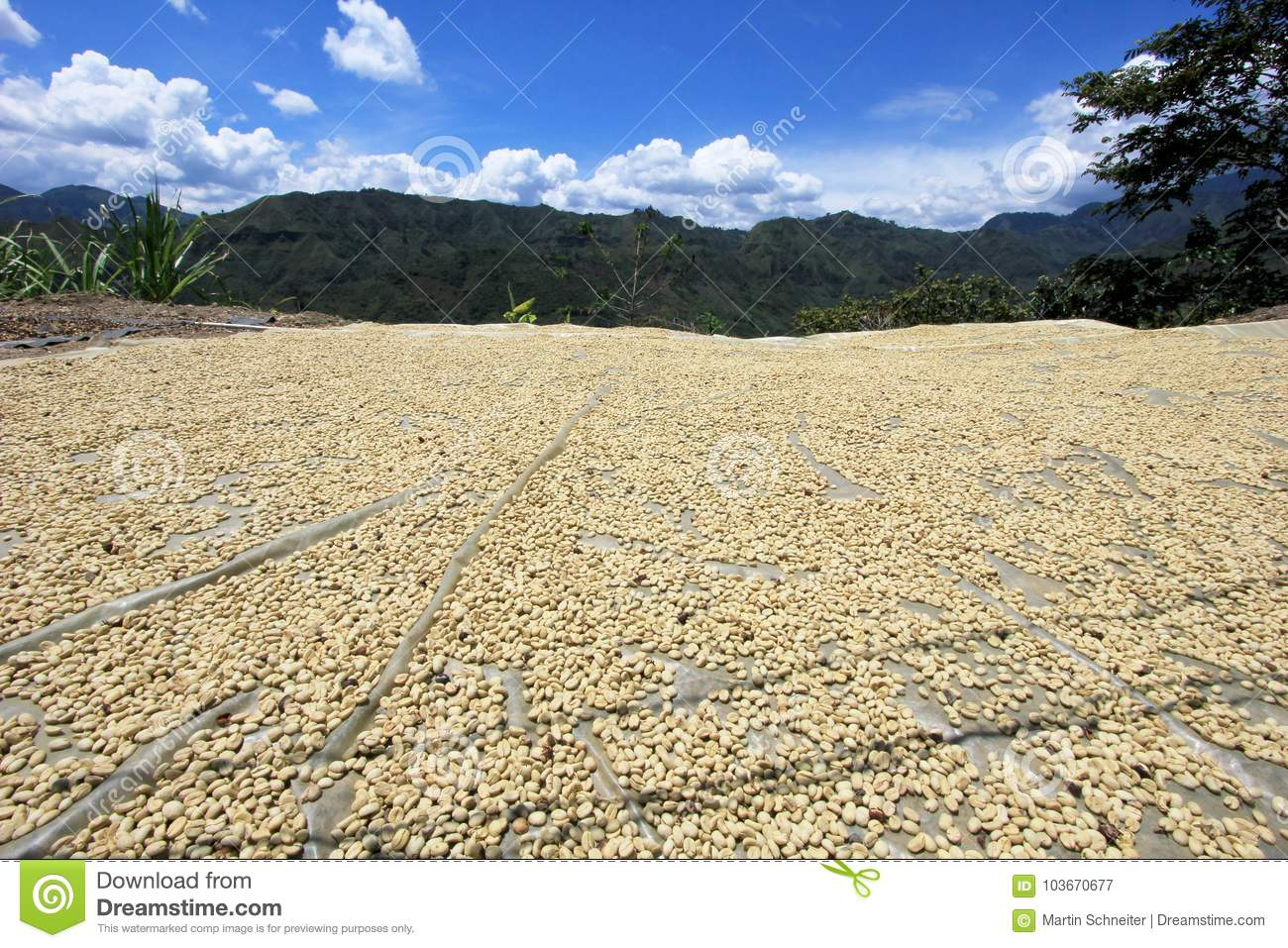 Coffee beans drying in the sun. Coffee plantations on the mountains of San Andres, Colombia