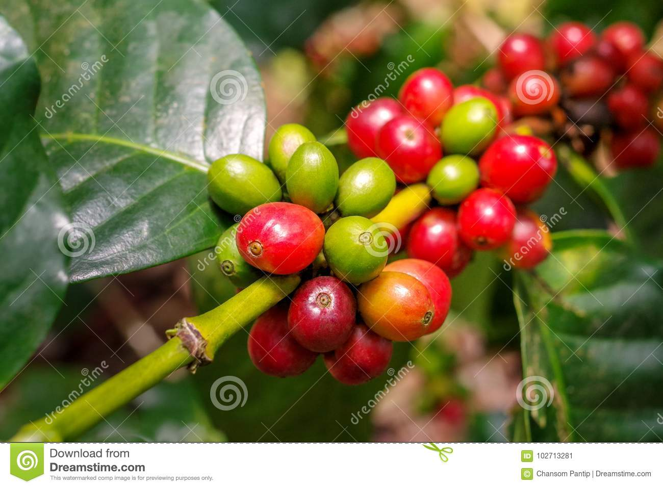 Coffee berries cherries grow in clusters along the branch of t