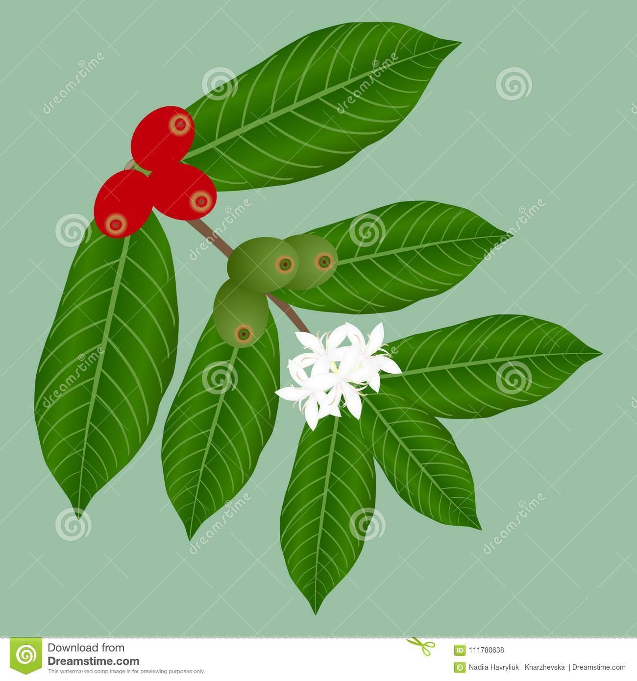 Coffee branch with flowers and red and green berries.
