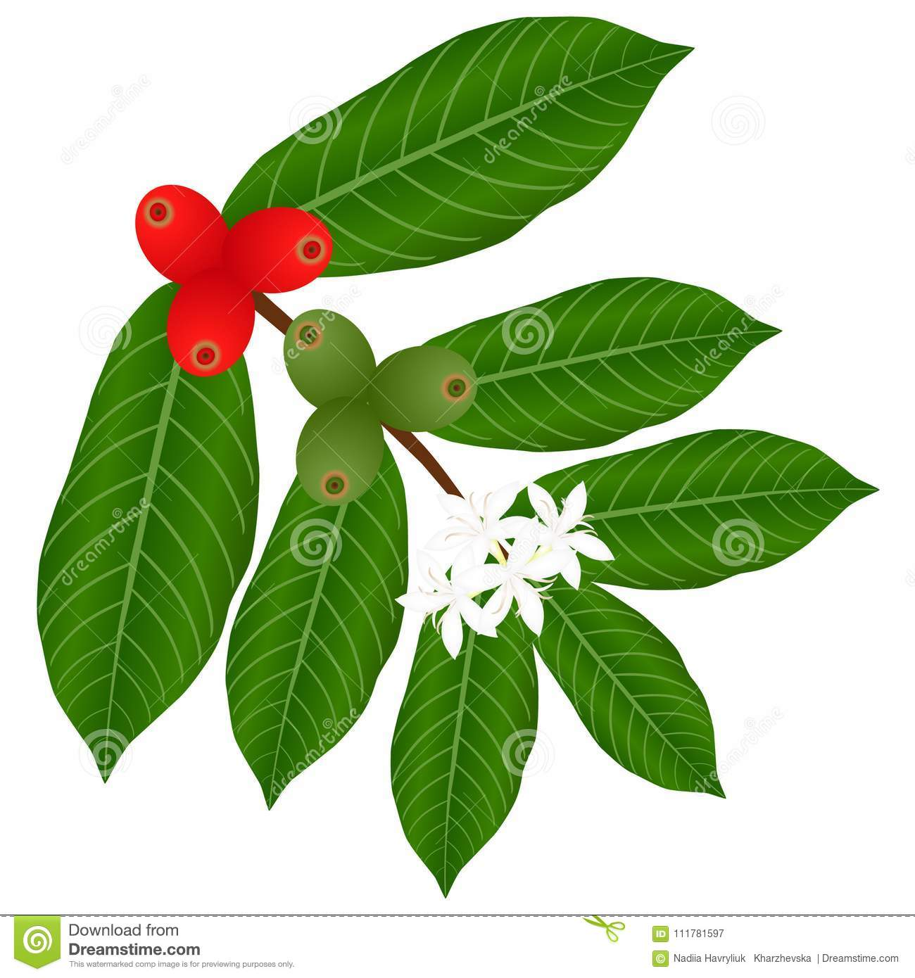 Coffee branch with flowers and red and green berries on a white background.
