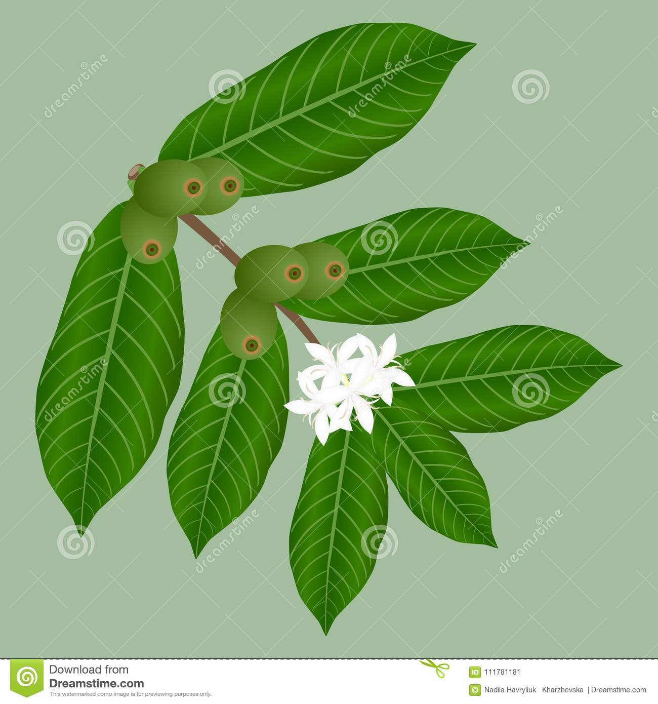 Coffee branch with white flowers and green berries.