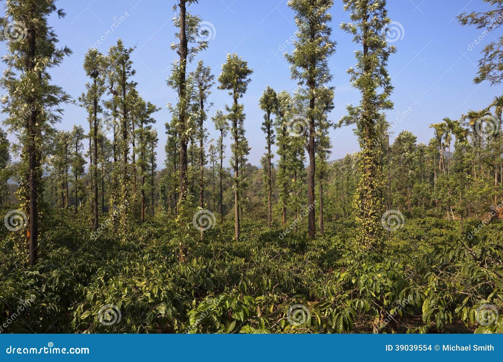 ... oak trees in the fertile landscape of wayanad in kerala south india
