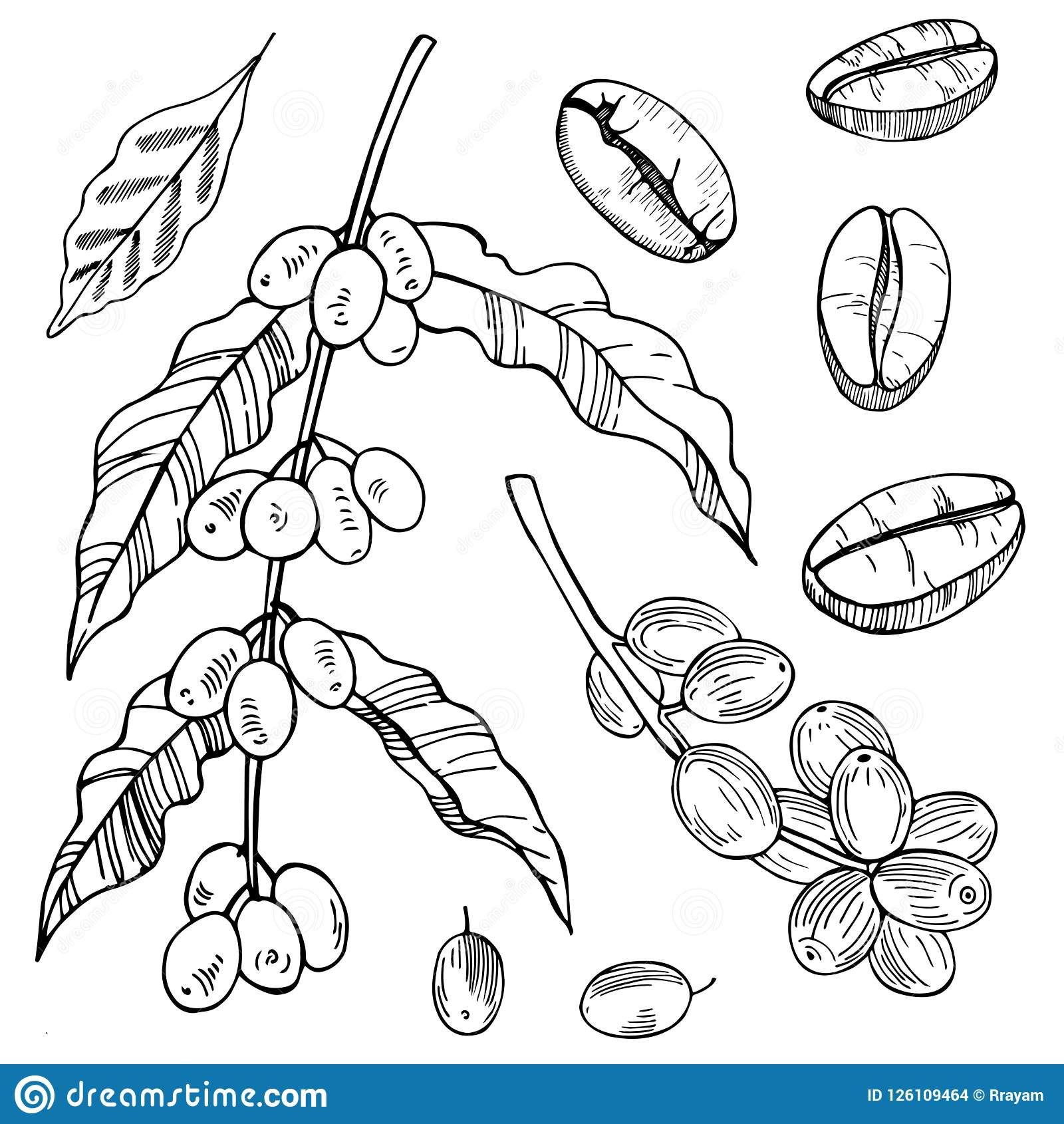 Coffee Plant And Beans. Vector Sketch Illustration. Stock ...