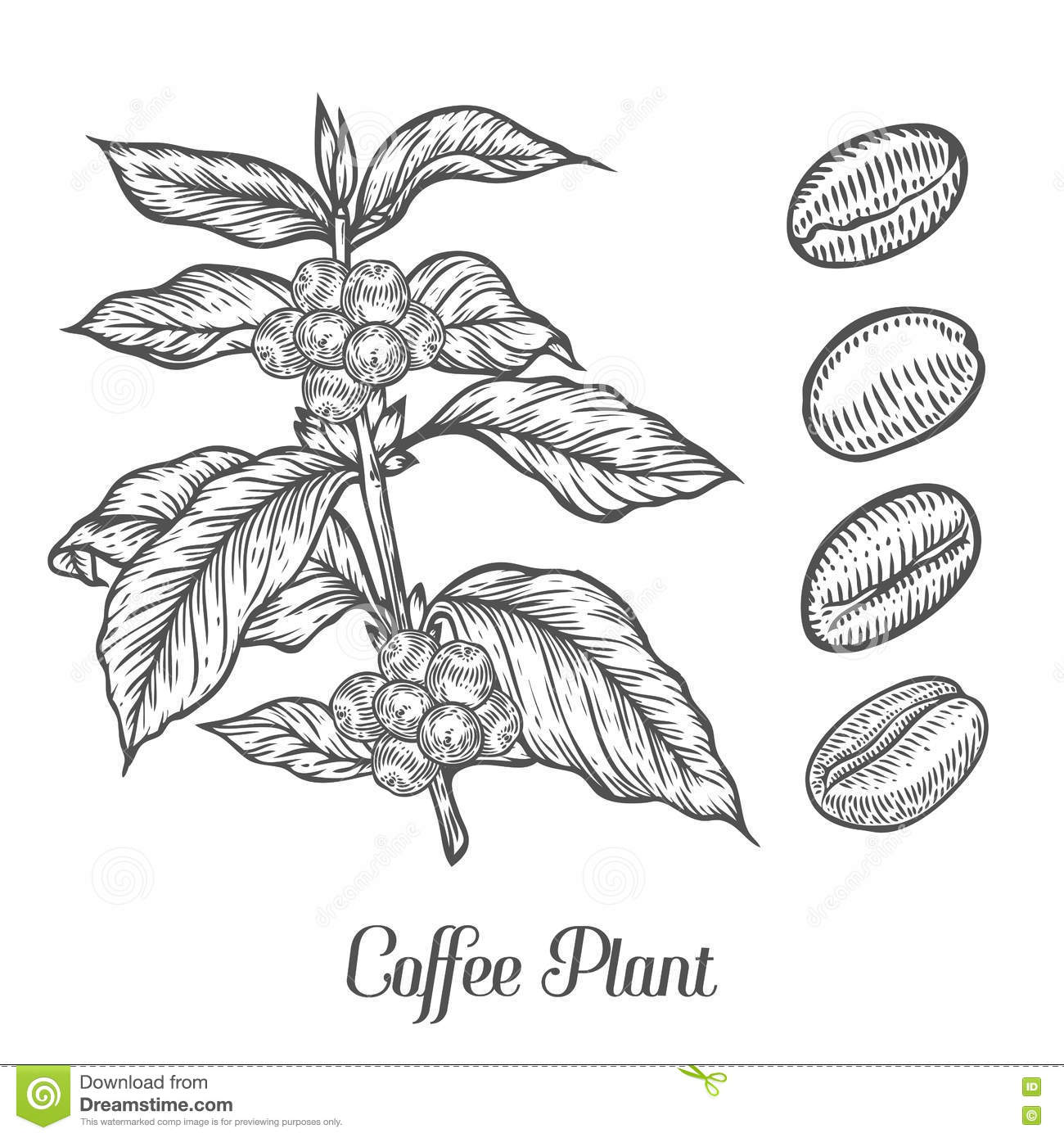 Coffee Plant Branch With Leaf, Berry, Coffee Bean, Fruit ...