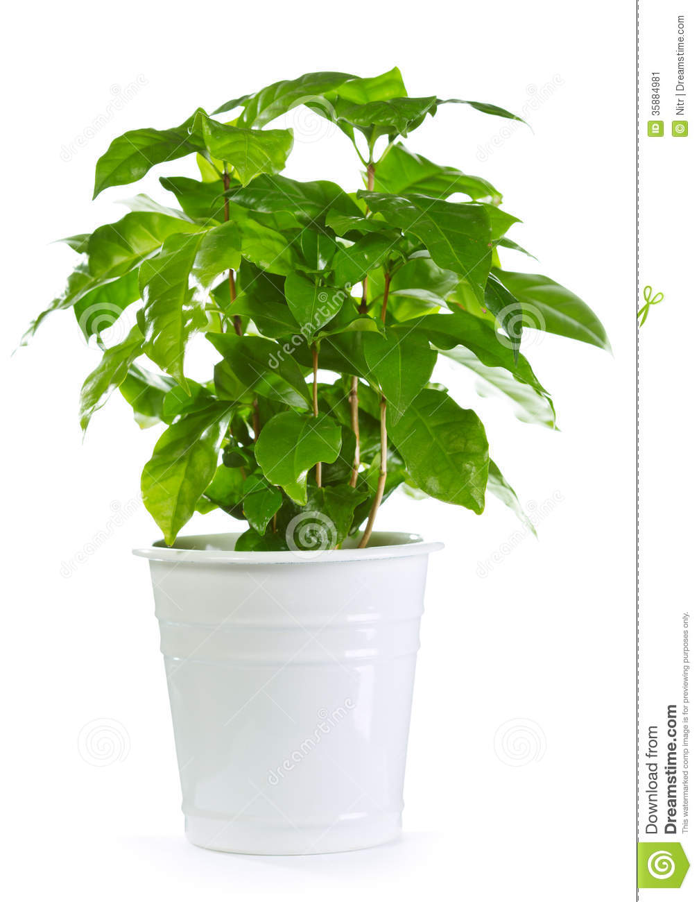 Coffee Plant In A Pot Stock Image Image Of Food Nature