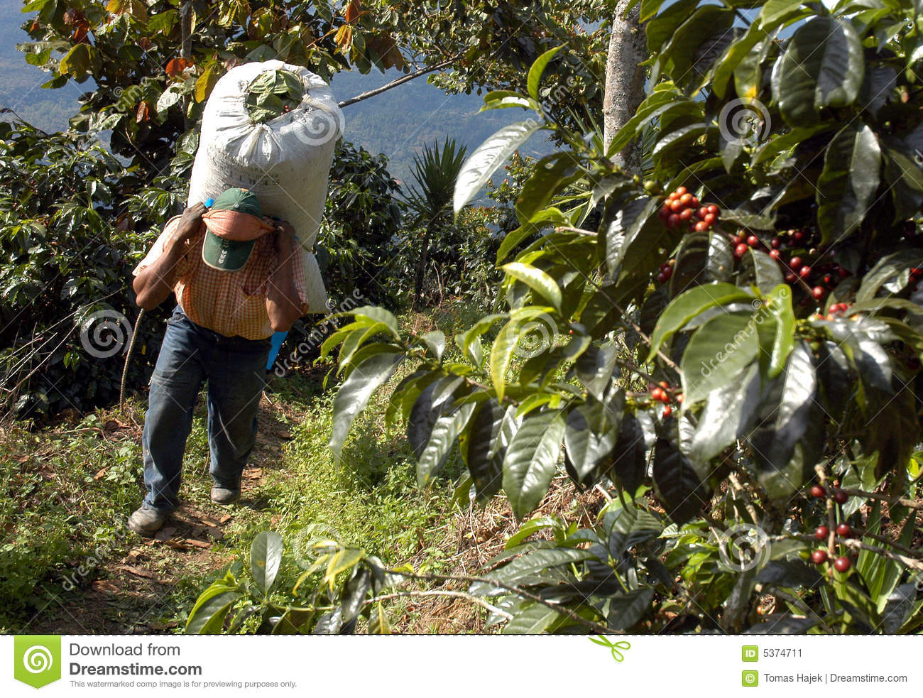 Coffee plantation Guatemala 23