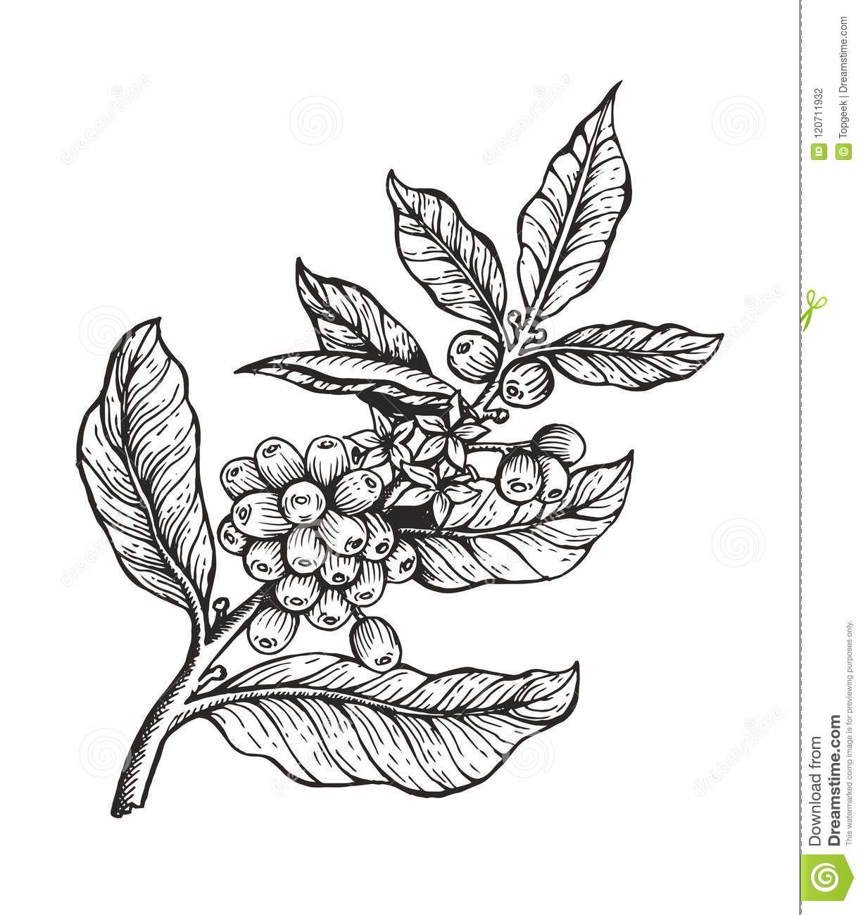 Coffee Tree With Beans Coffea Vector Illustration Stock ...