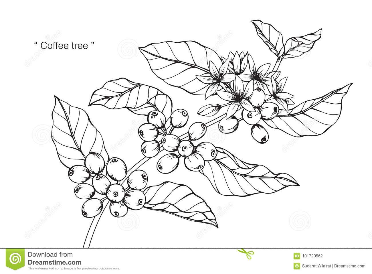 It is an image of Superb Coffee Plant Drawing