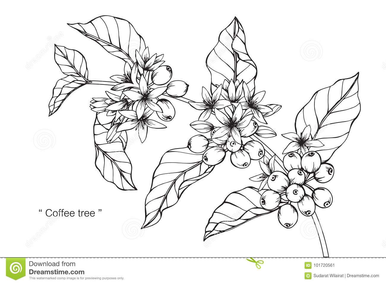 Coffee Tree Drawing