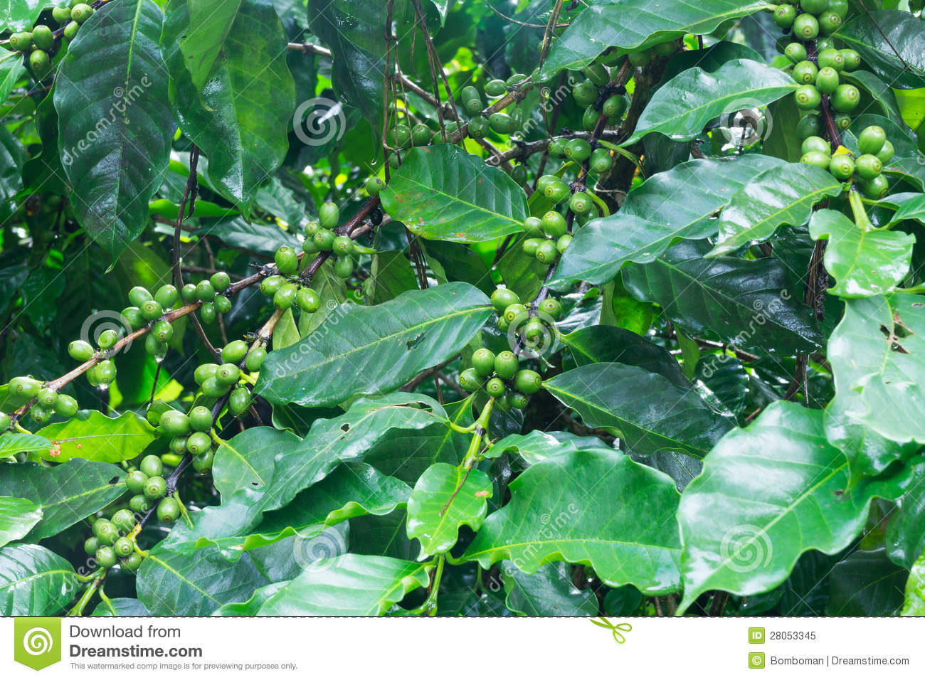 Coffee Tree With Green Coffee Beans Stock Image Image Of