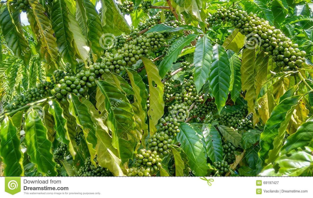 Coffee Tree With Green Coffee Beans Stock Image Image Of Produce