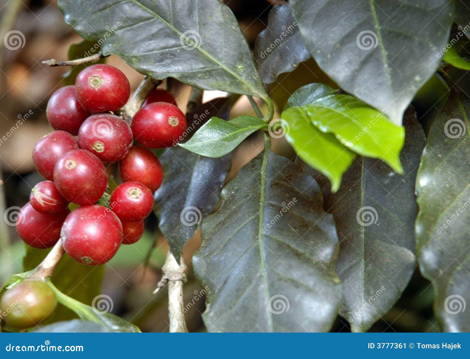 Coffee-tree, Guatemala 08