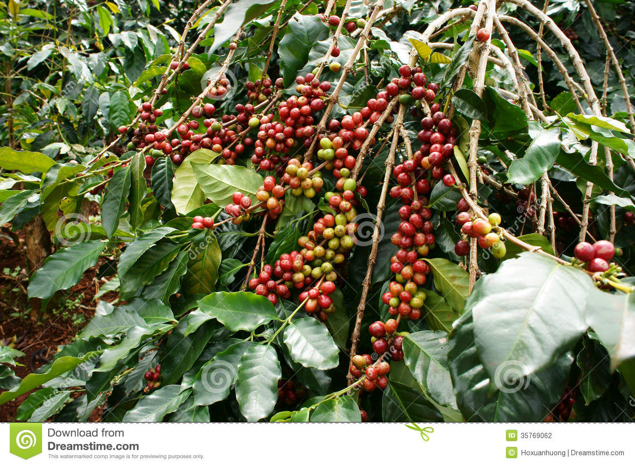 coffee-tree-red-bean-ripening-plantation