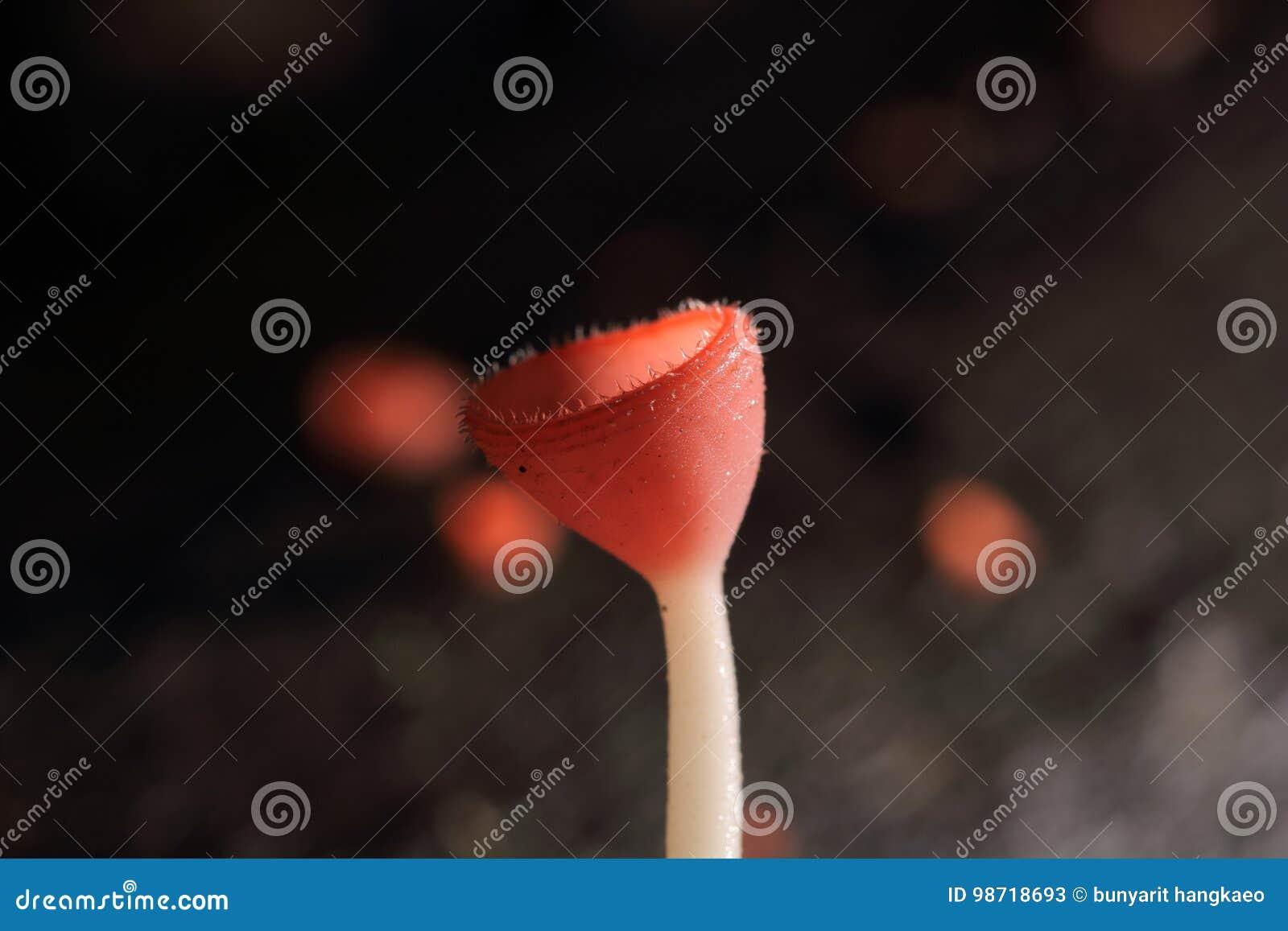 Cogumelo cor-de-rosa do champanhe
