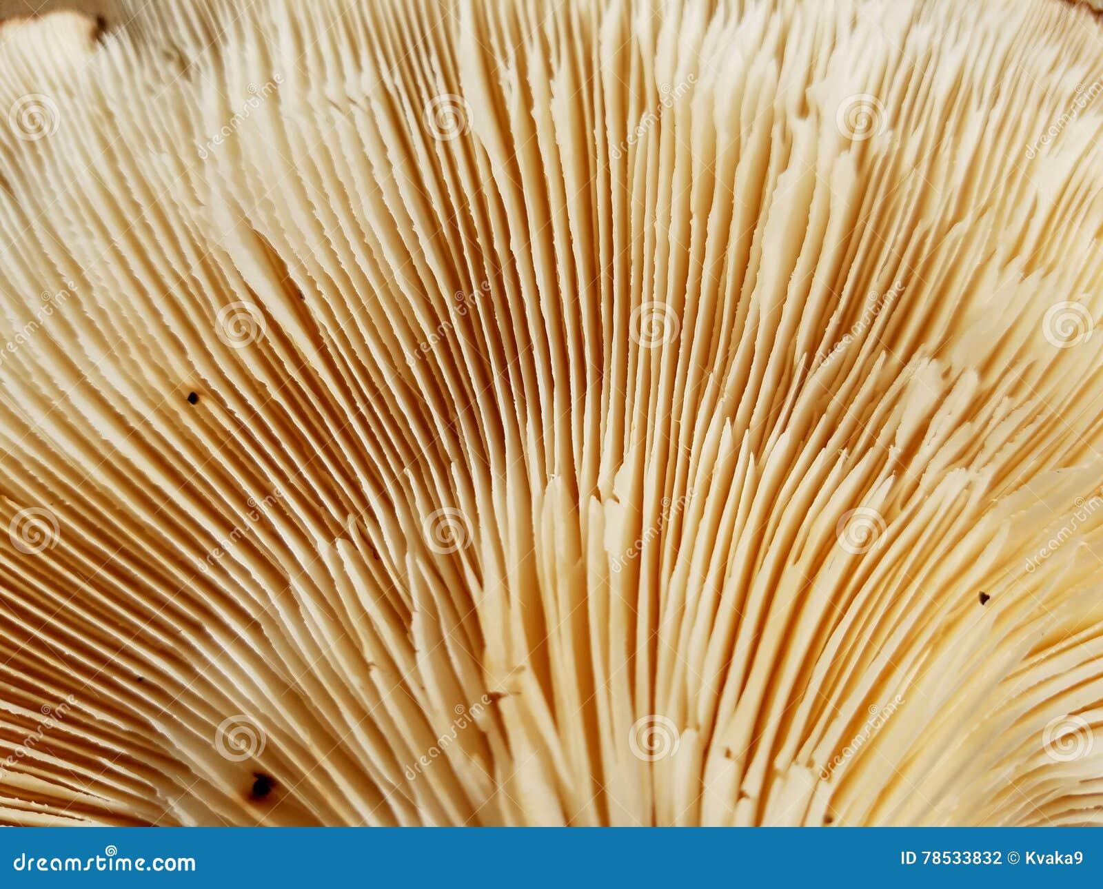 Cogumelo de shiitake orgânico - ascendente próximo