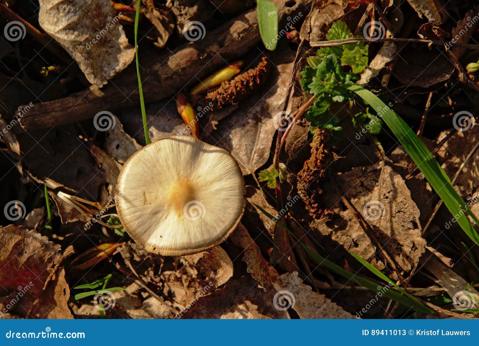 Cogumelo do amanita na floresta