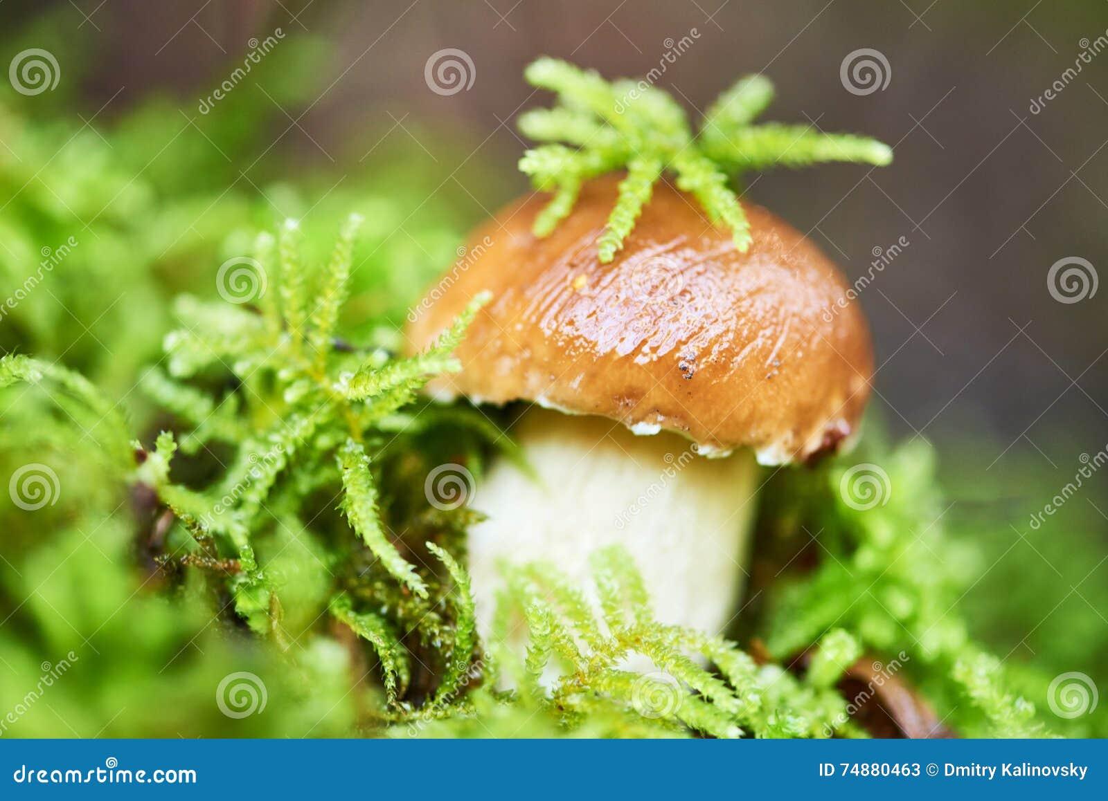 Cogumelo do cepa-de-bordéus do boleto em uma floresta