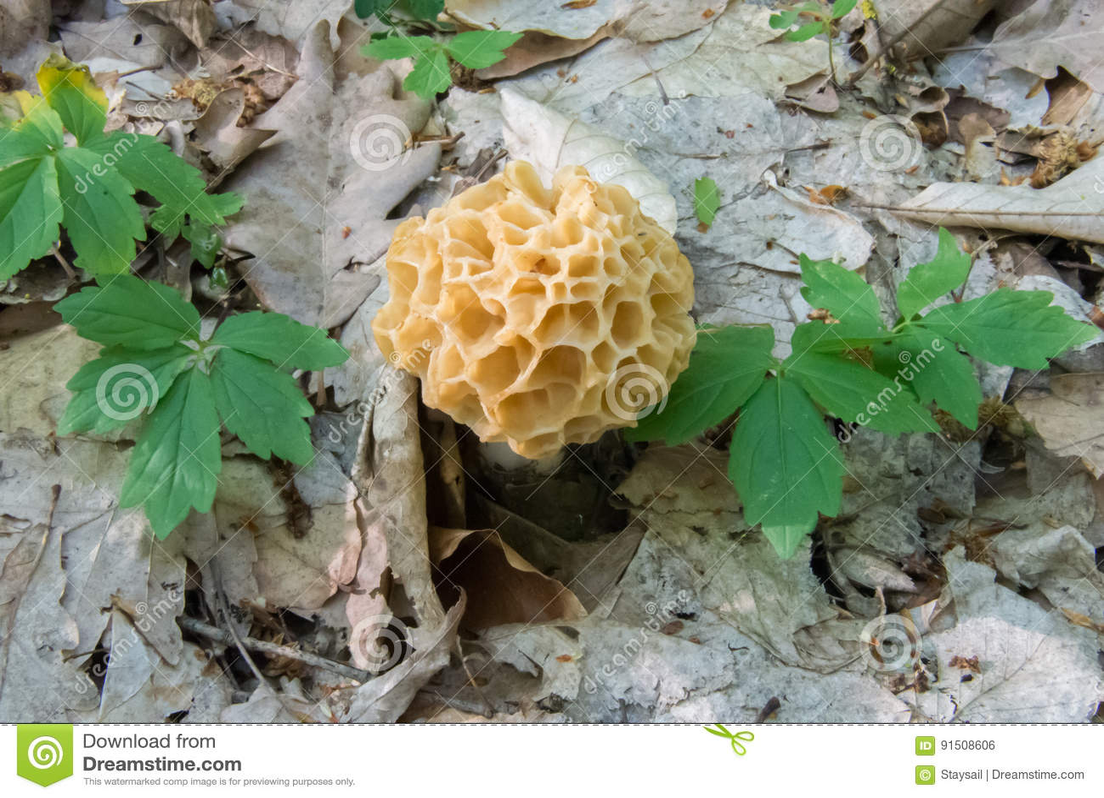 Cogumelo do morel da mola Guloseima europeia