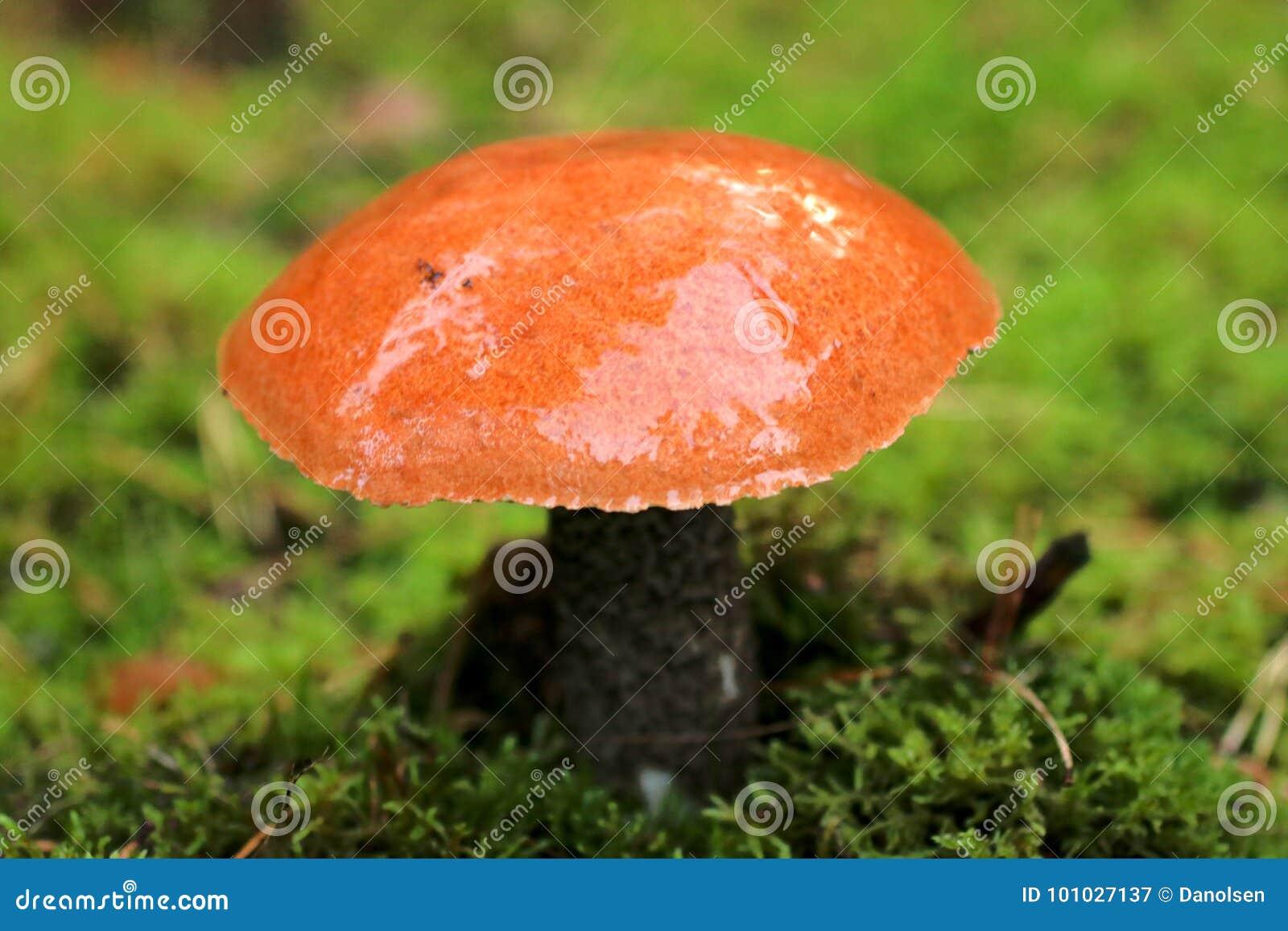 Cogumelo meaty do rei Bolete, delicioso e