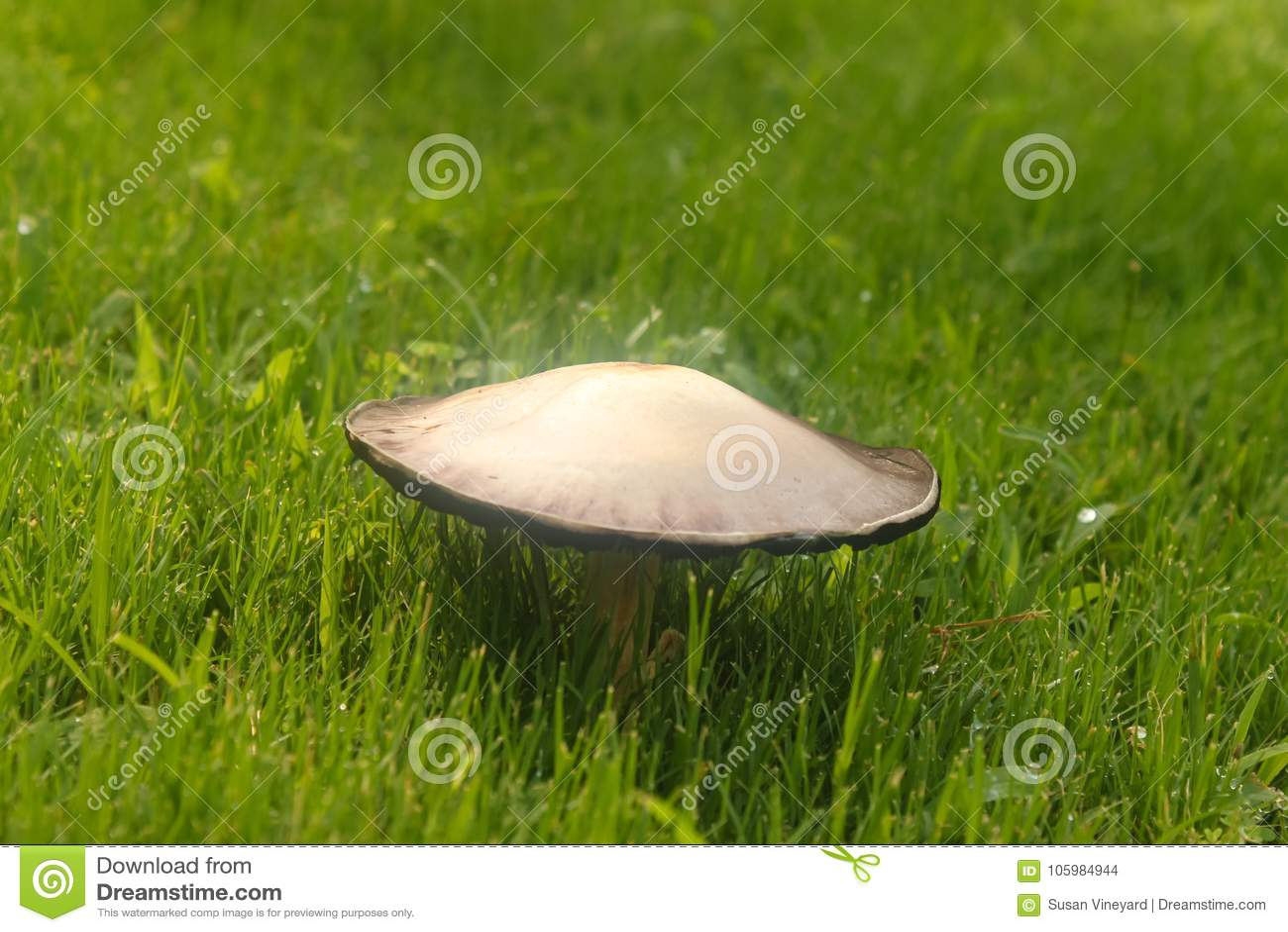 Cogumelo que cresce na grama verde com gotas de água - foco seletivo
