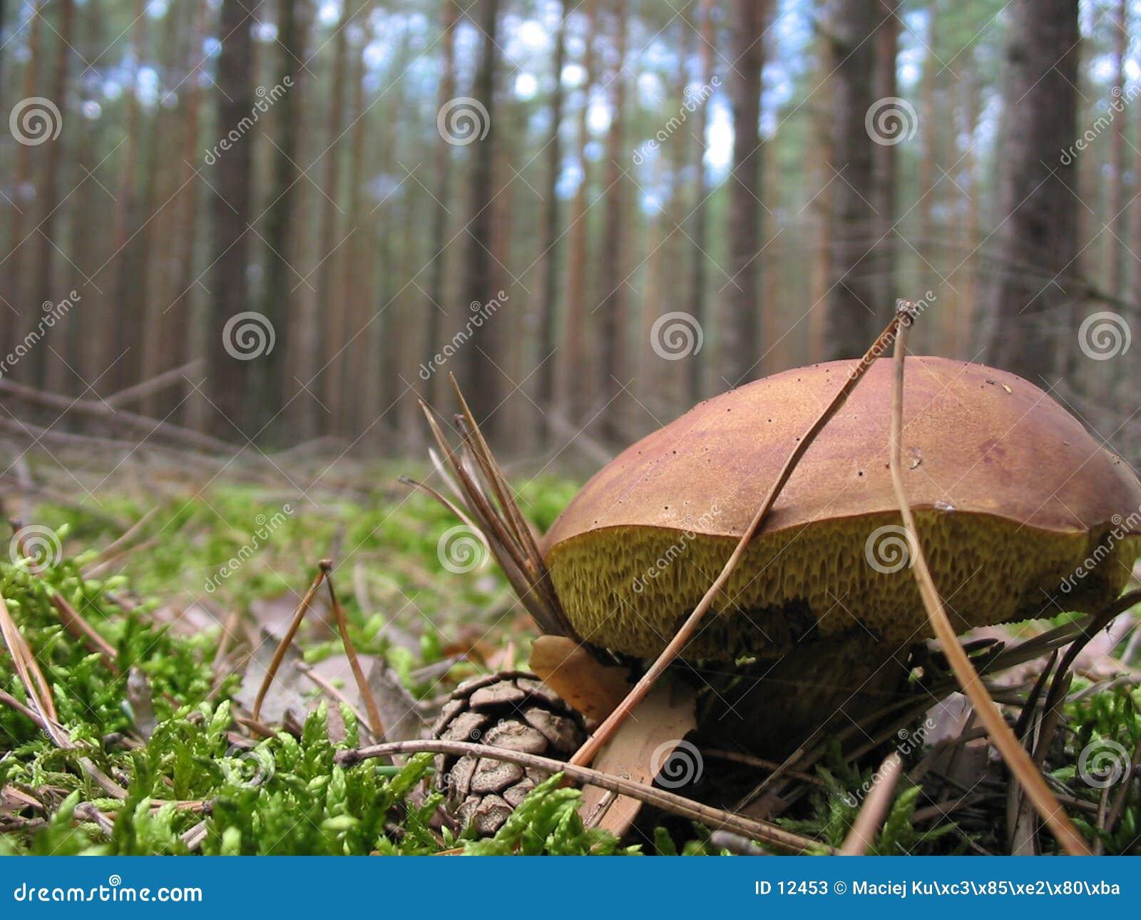 Cogumelo selvagem