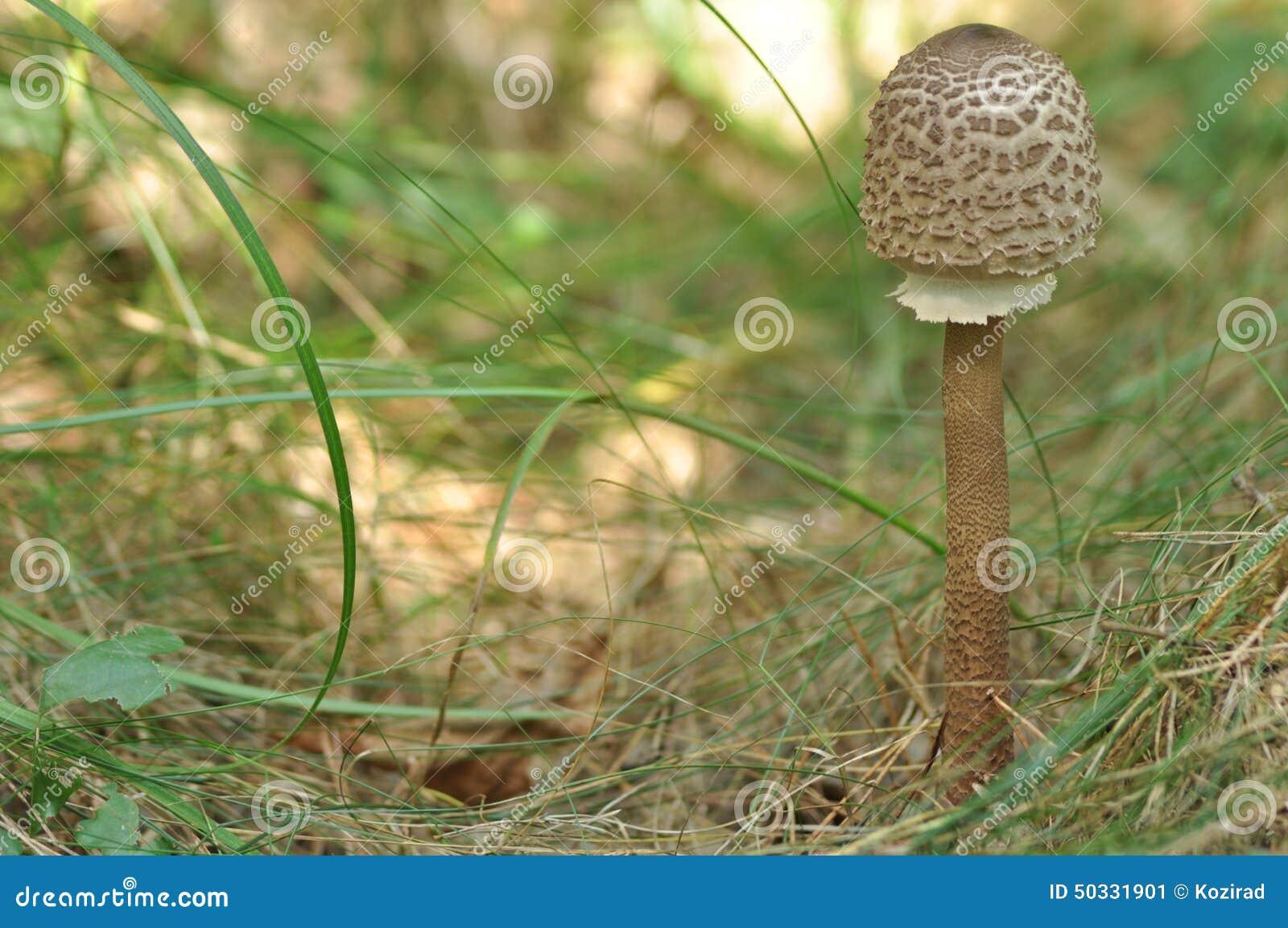 Cogumelos comestíveis delicacy A adição aos pratos Colheita do cogumelo do outono