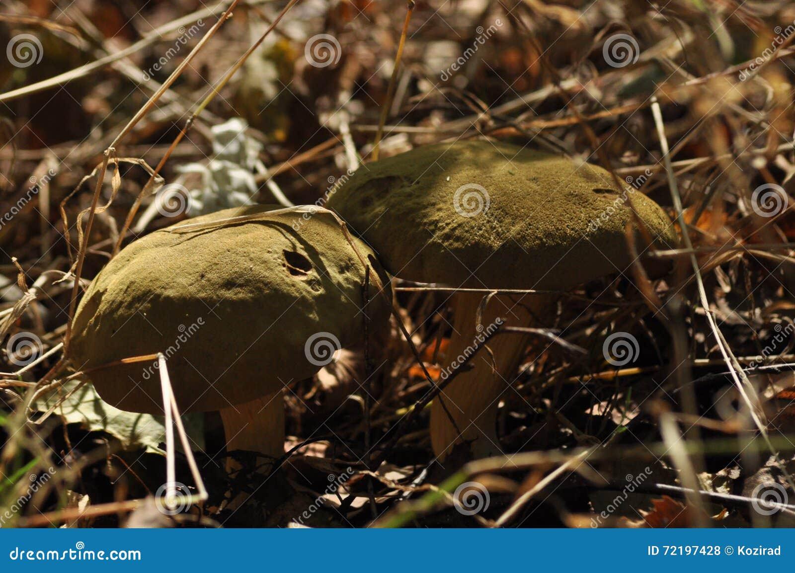 Cogumelos comestíveis delicacy A adição aos pratos outono