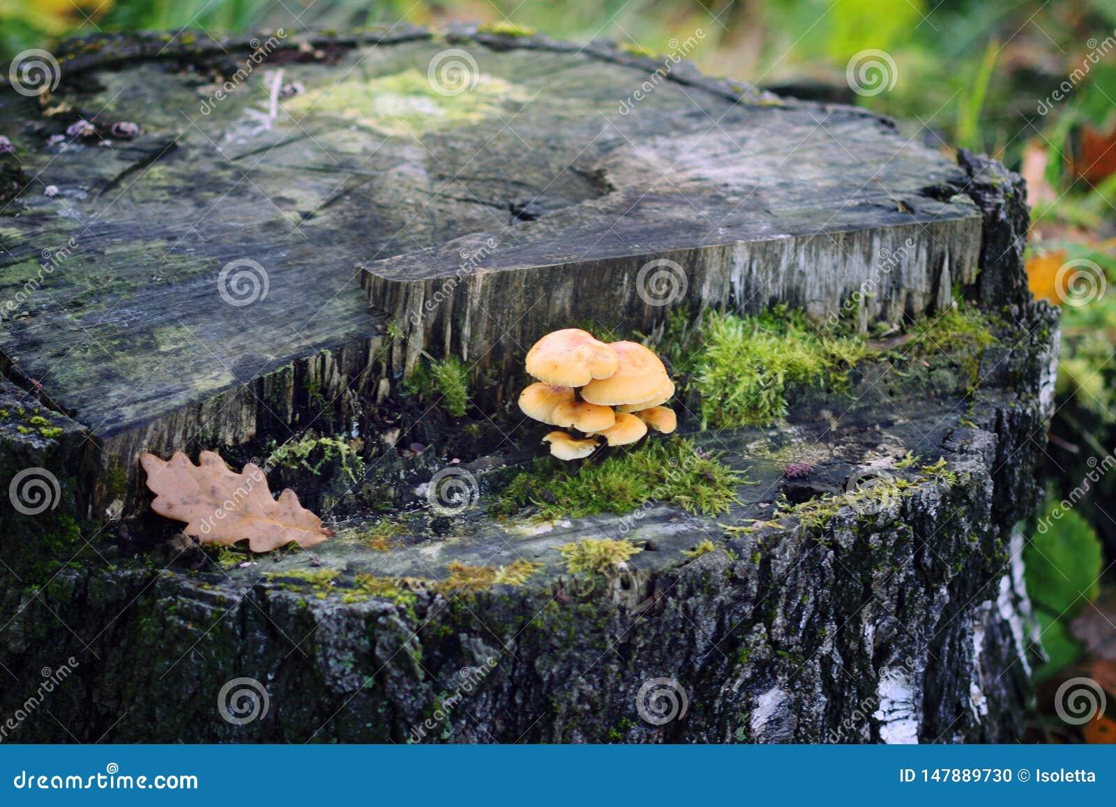 Cogumelos da floresta no coto de árvore com musgo Mushrrom do agaric do mel